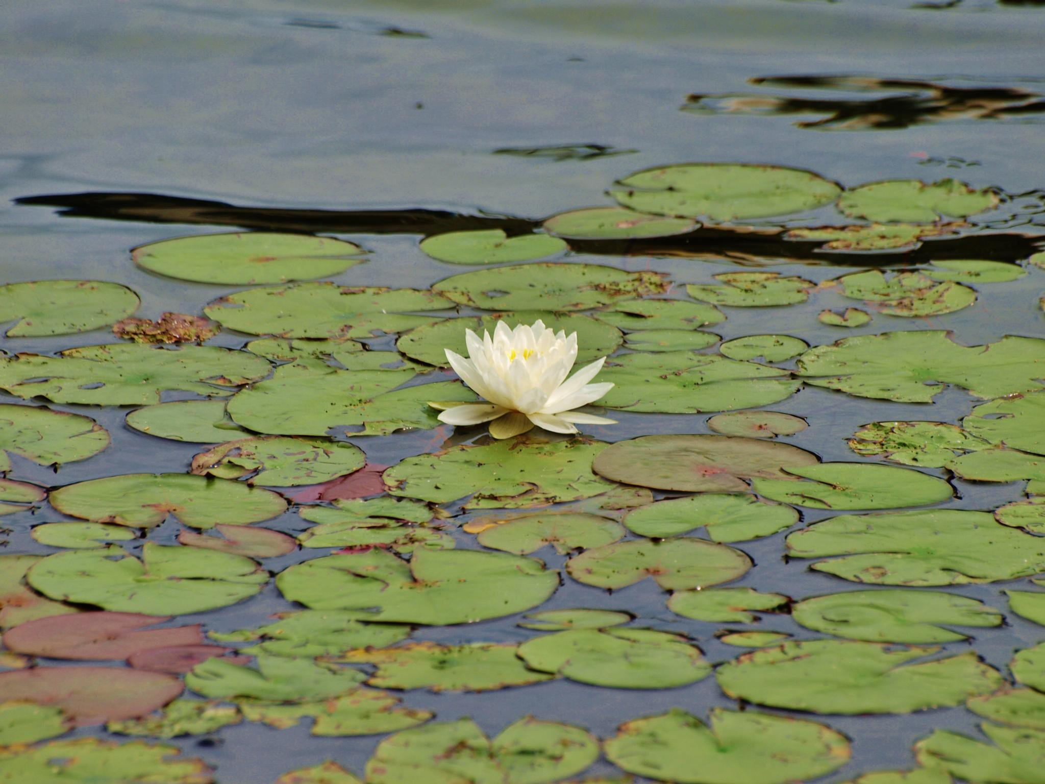 Water Lily by wendemar