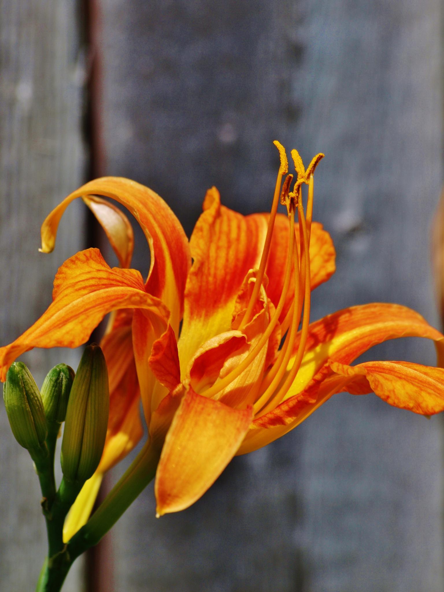 Orange Daylily by wendemar