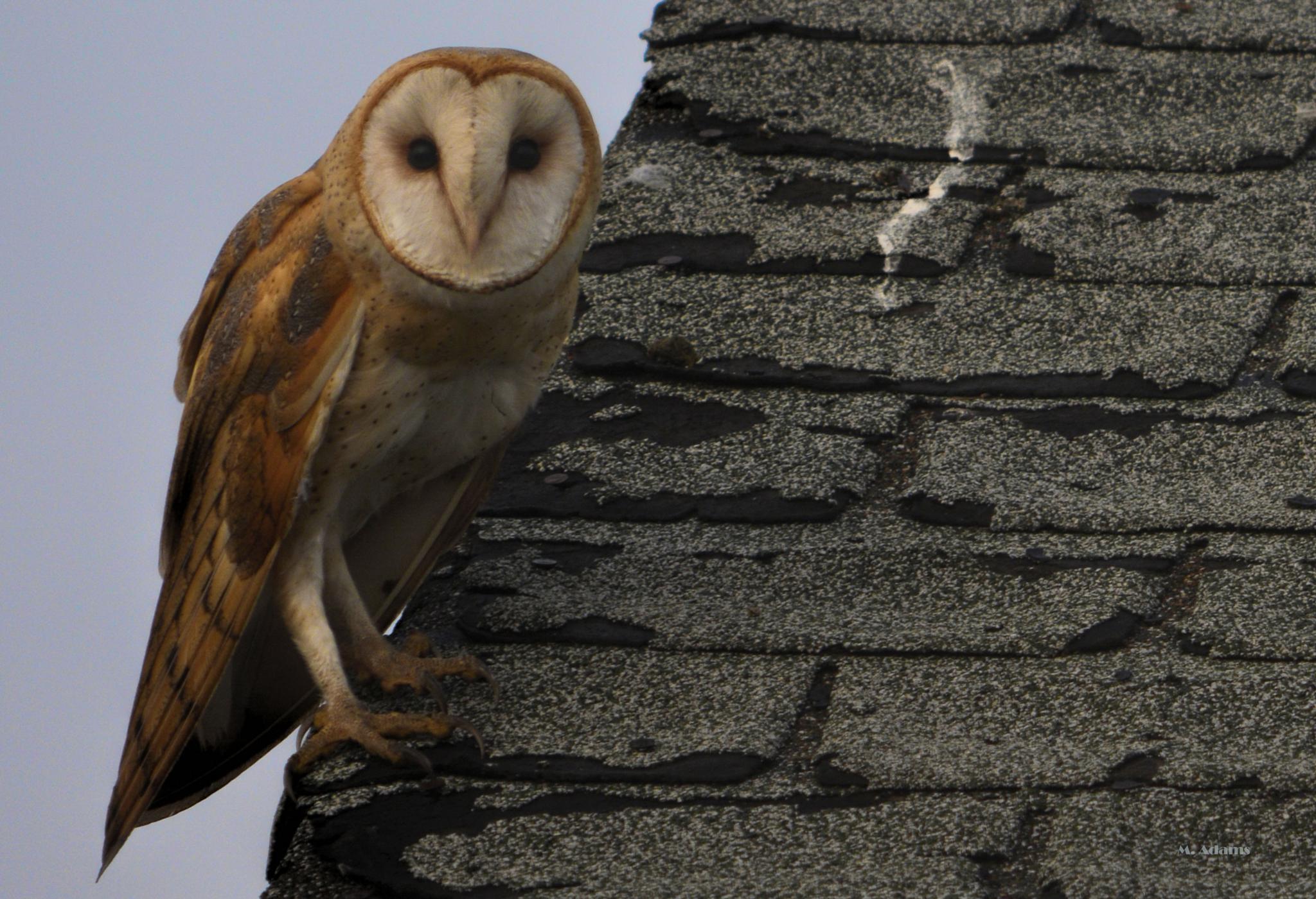 Barn Owl by Mike Adams