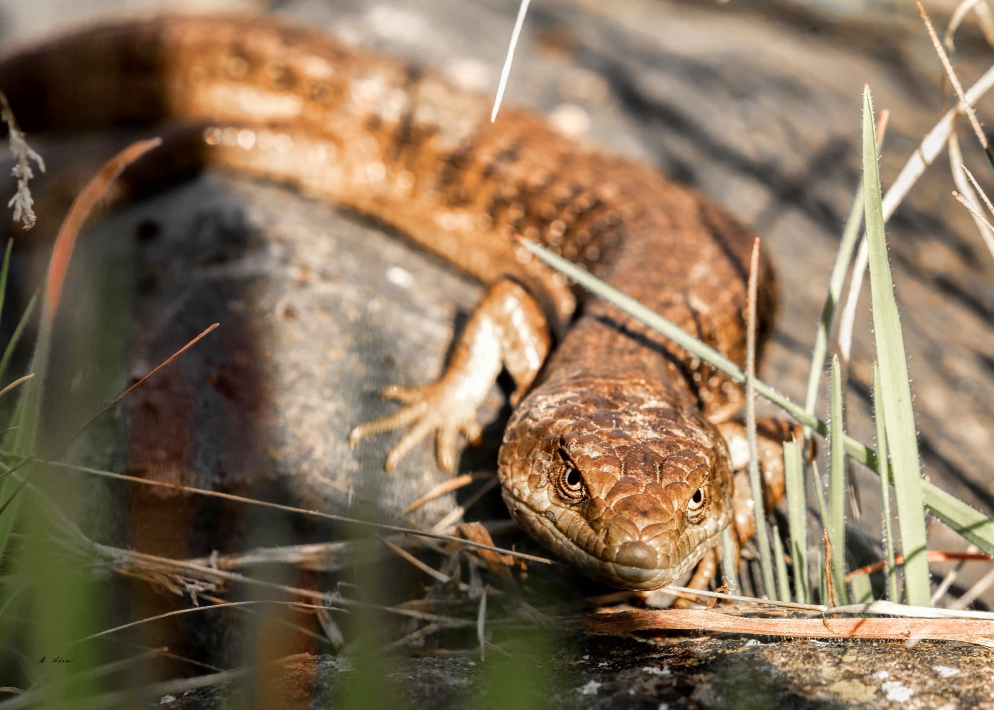 lizard by Mike Adams