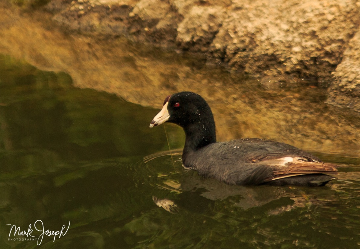A Different Duck by Mark Joseph