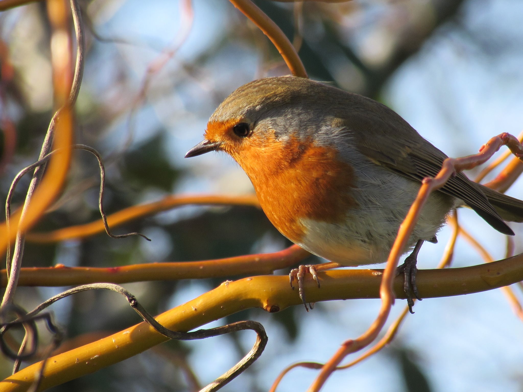Robin by michelejames82