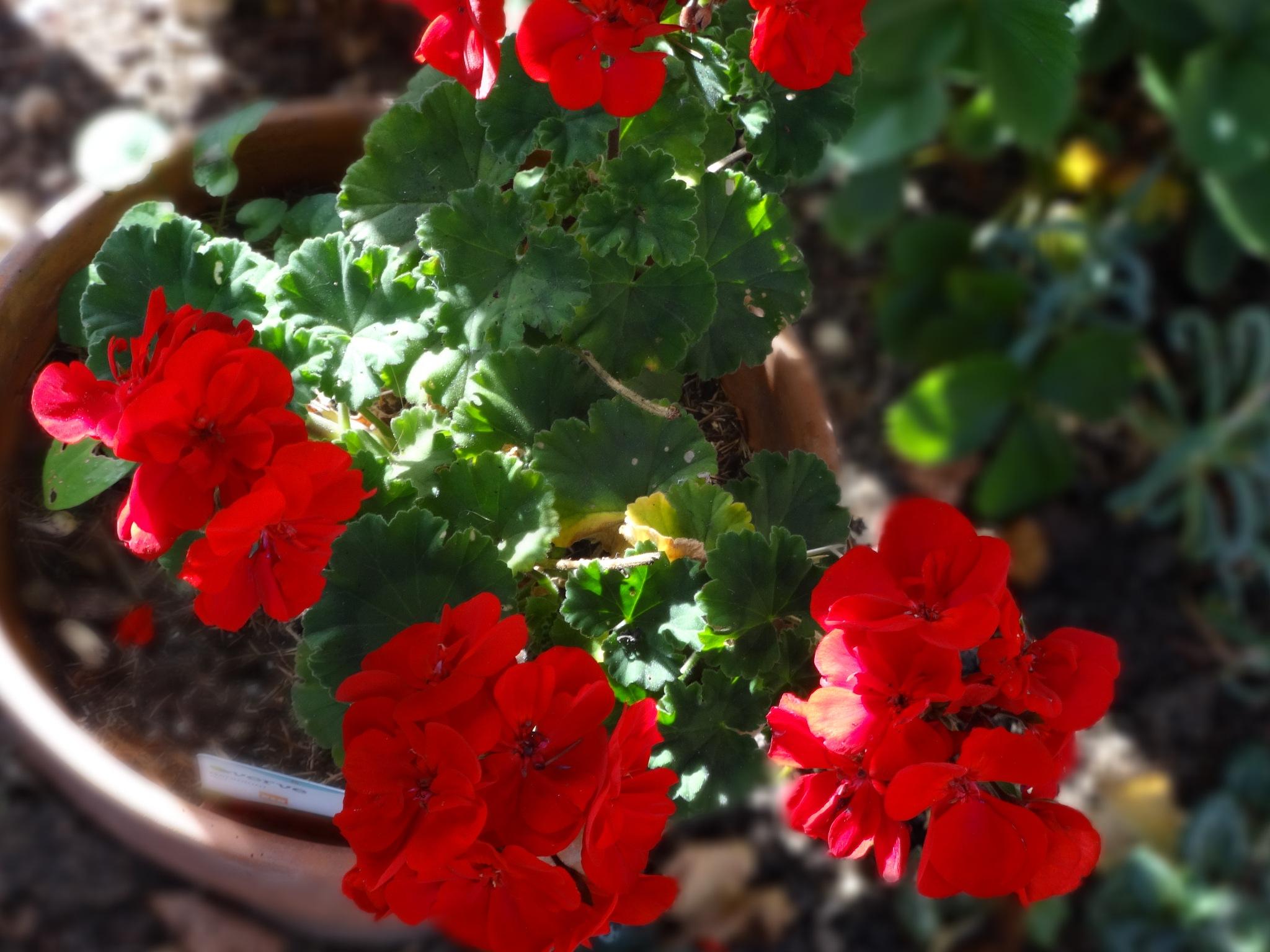 Geraniums by elena