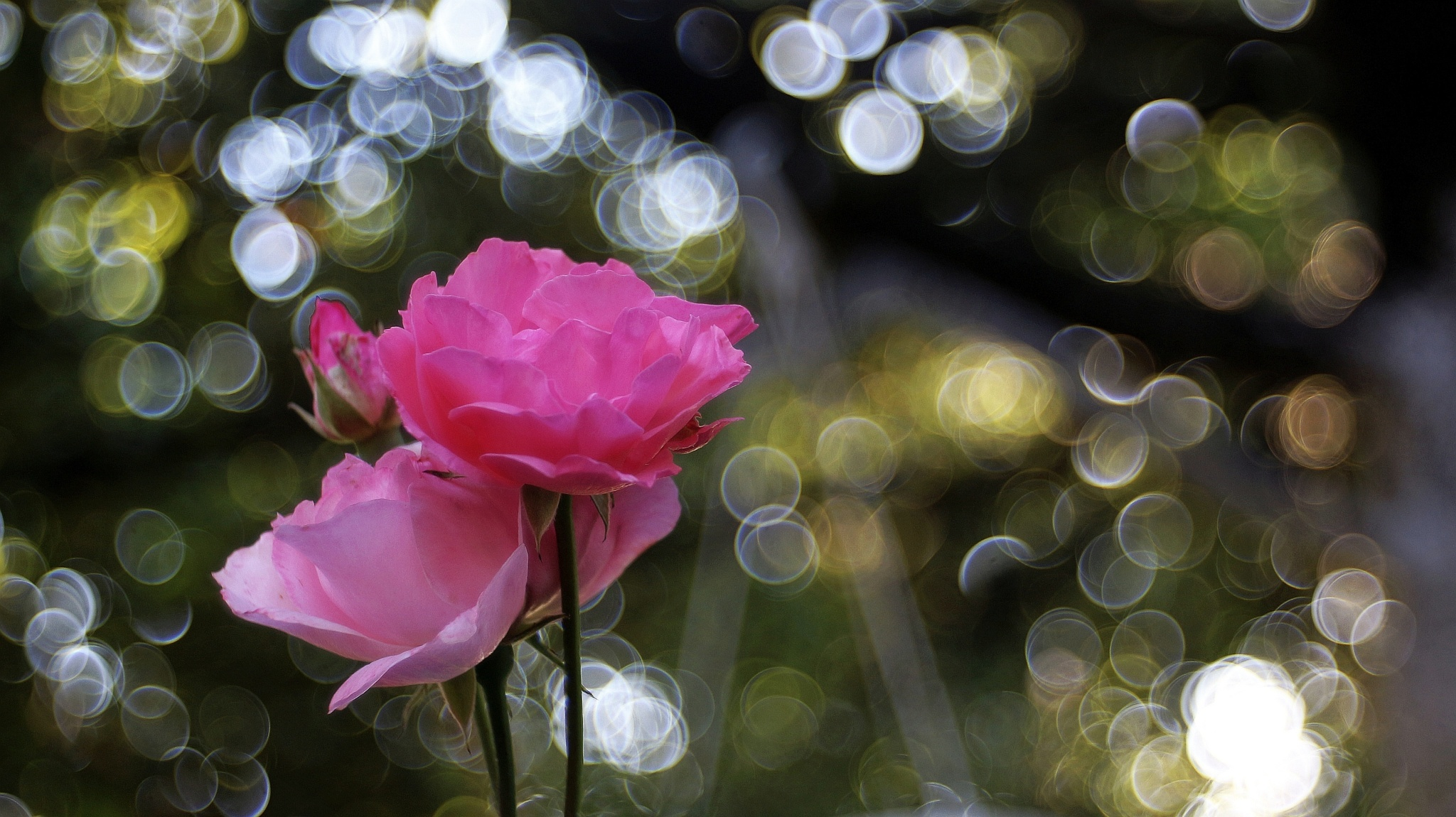 Roses by nikica
