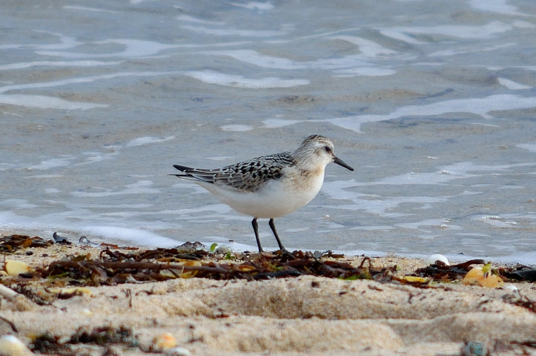 A Sanderling by Maurice Moore