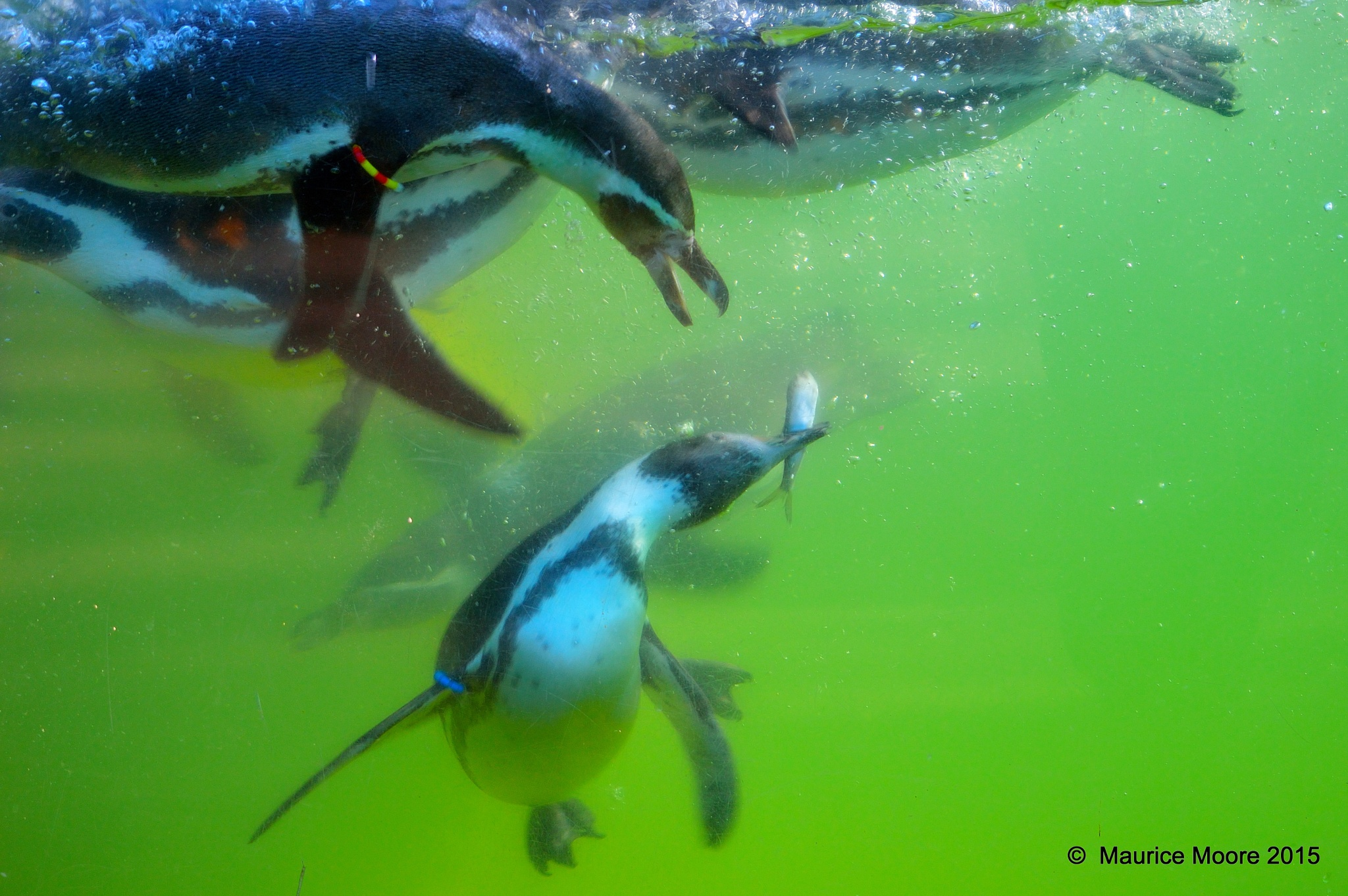 Feeding Time fot the Humboldt Penguins by Maurice Moore