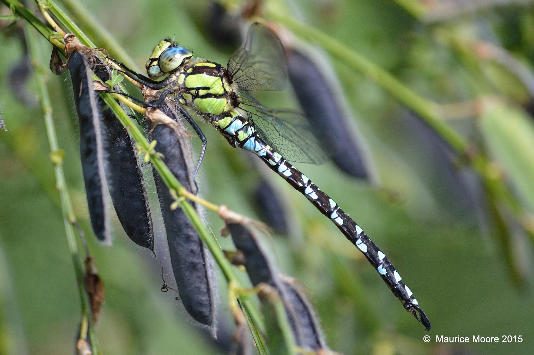 Southern Hawker Dragonfly by Maurice Moore