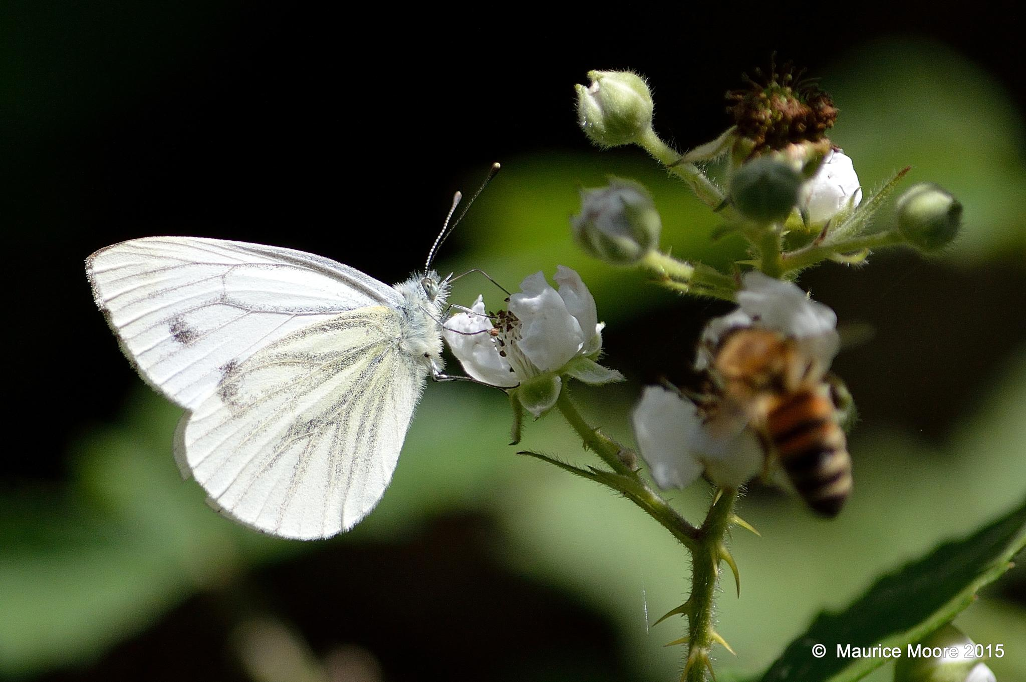The White Butterfly (& the Bee) by Maurice Moore