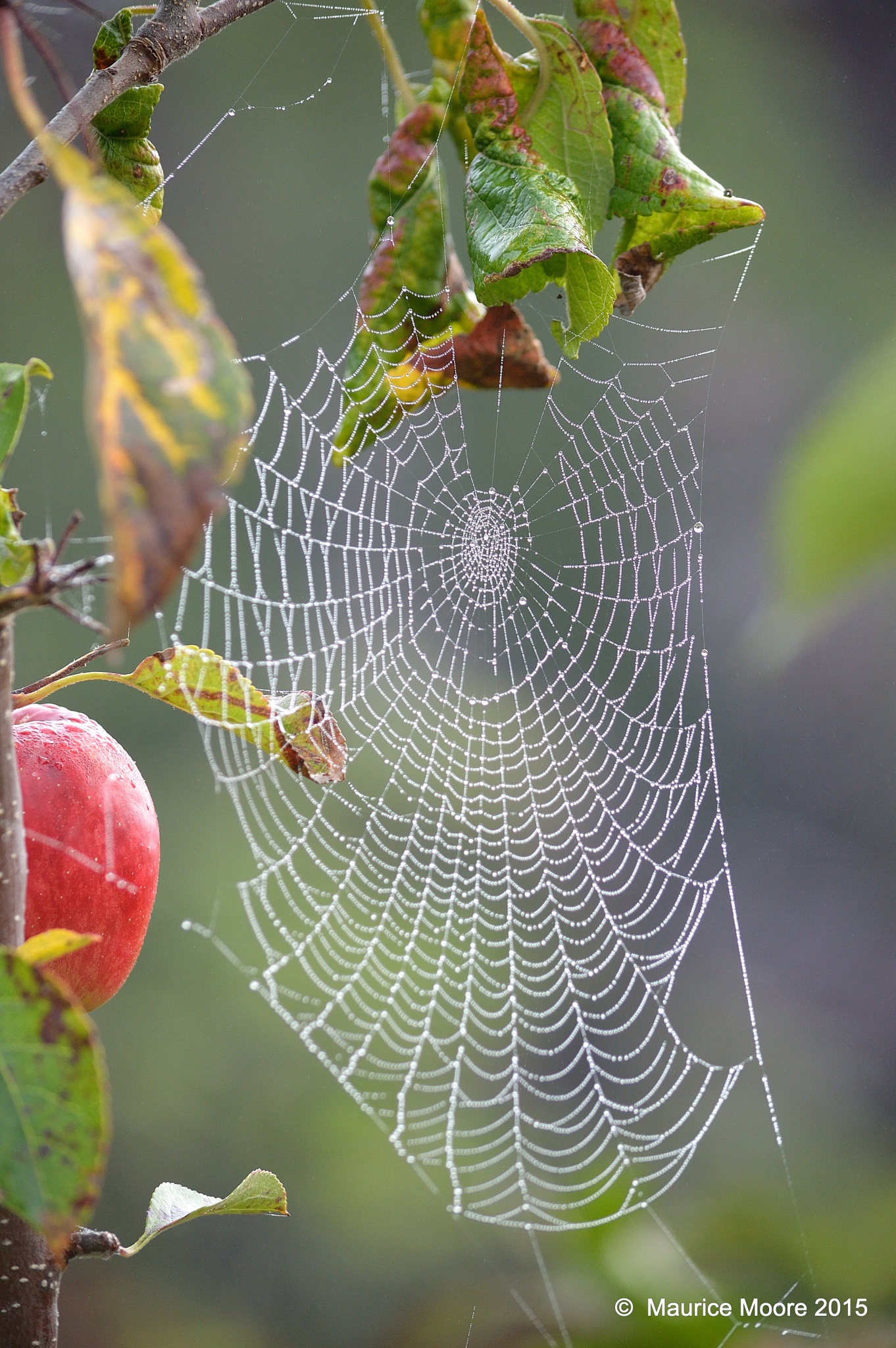 Early morning Cobweb by Maurice Moore