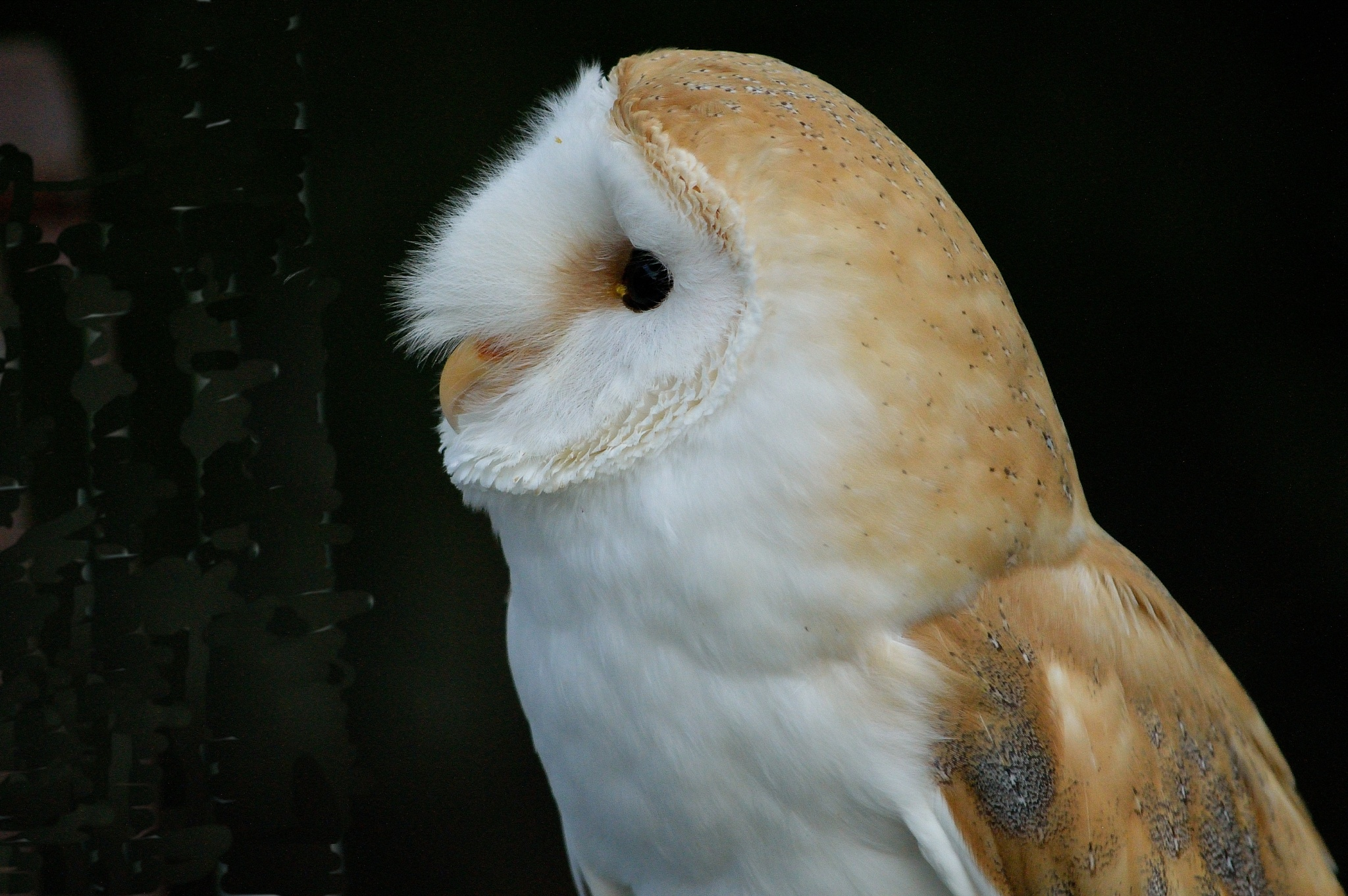 Barn Owl by Maurice Moore