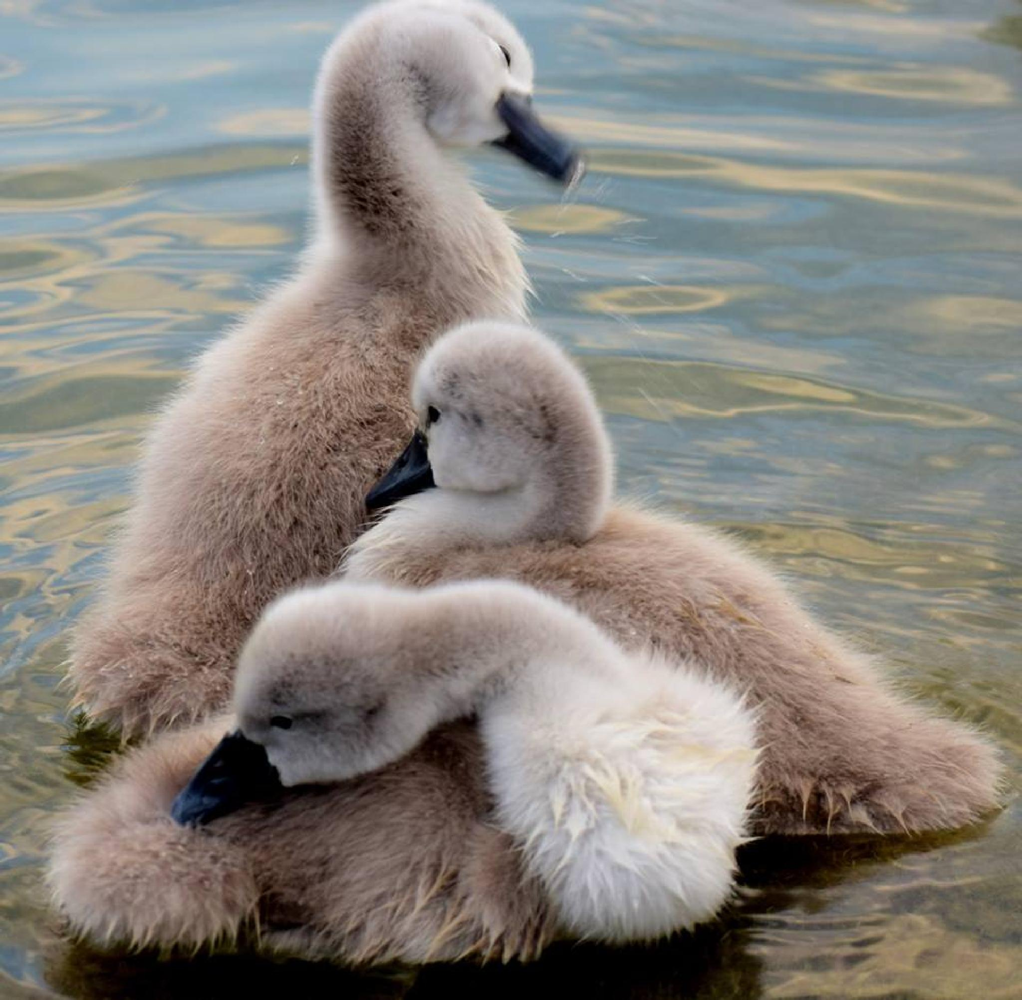 A Cygnet Pyramid  by czeddy70