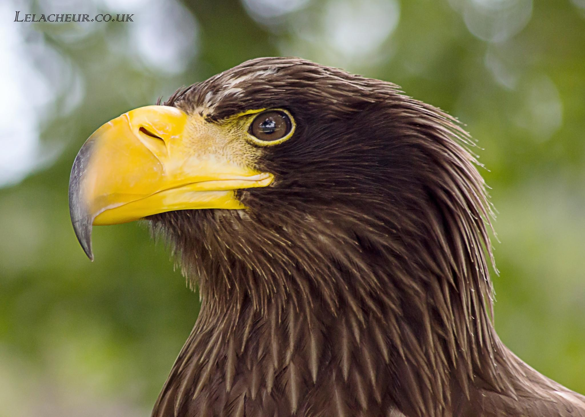 Sea Eagle by Jon Lelacheur Photography