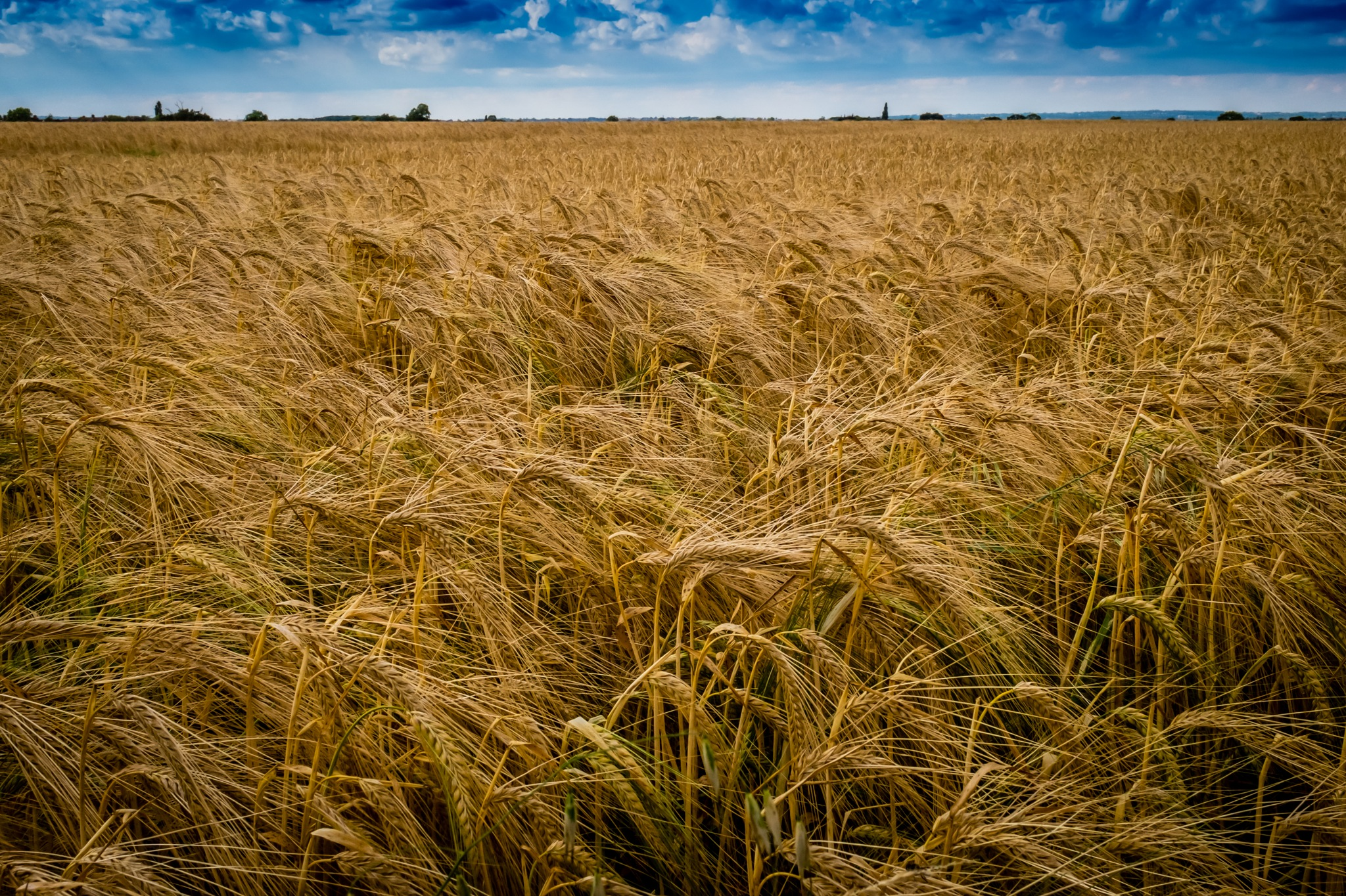 Wind in the Barley by DRJonsey