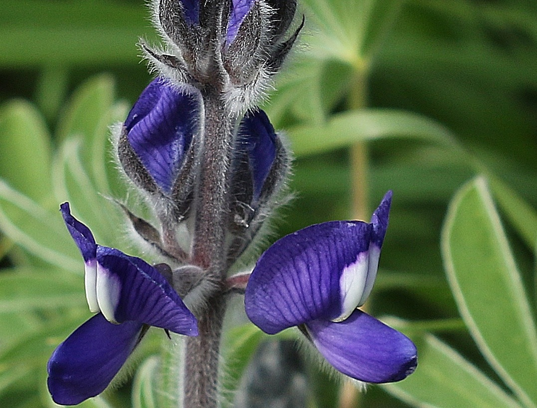 Blue Lupine by ITZIK YOTVAT