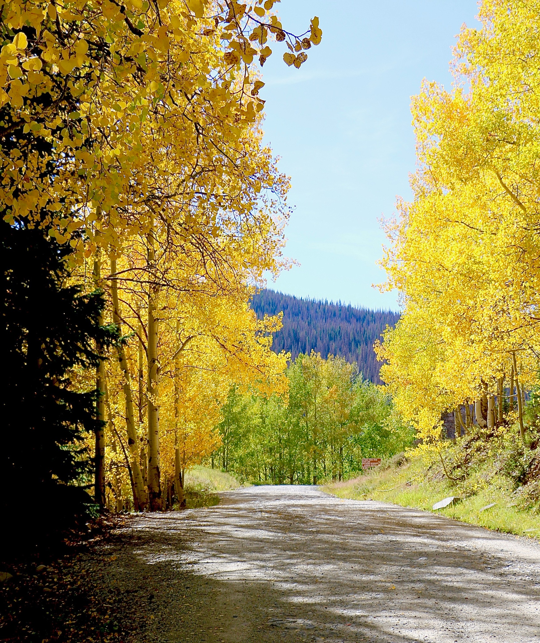aspens in the fall by cindascheef