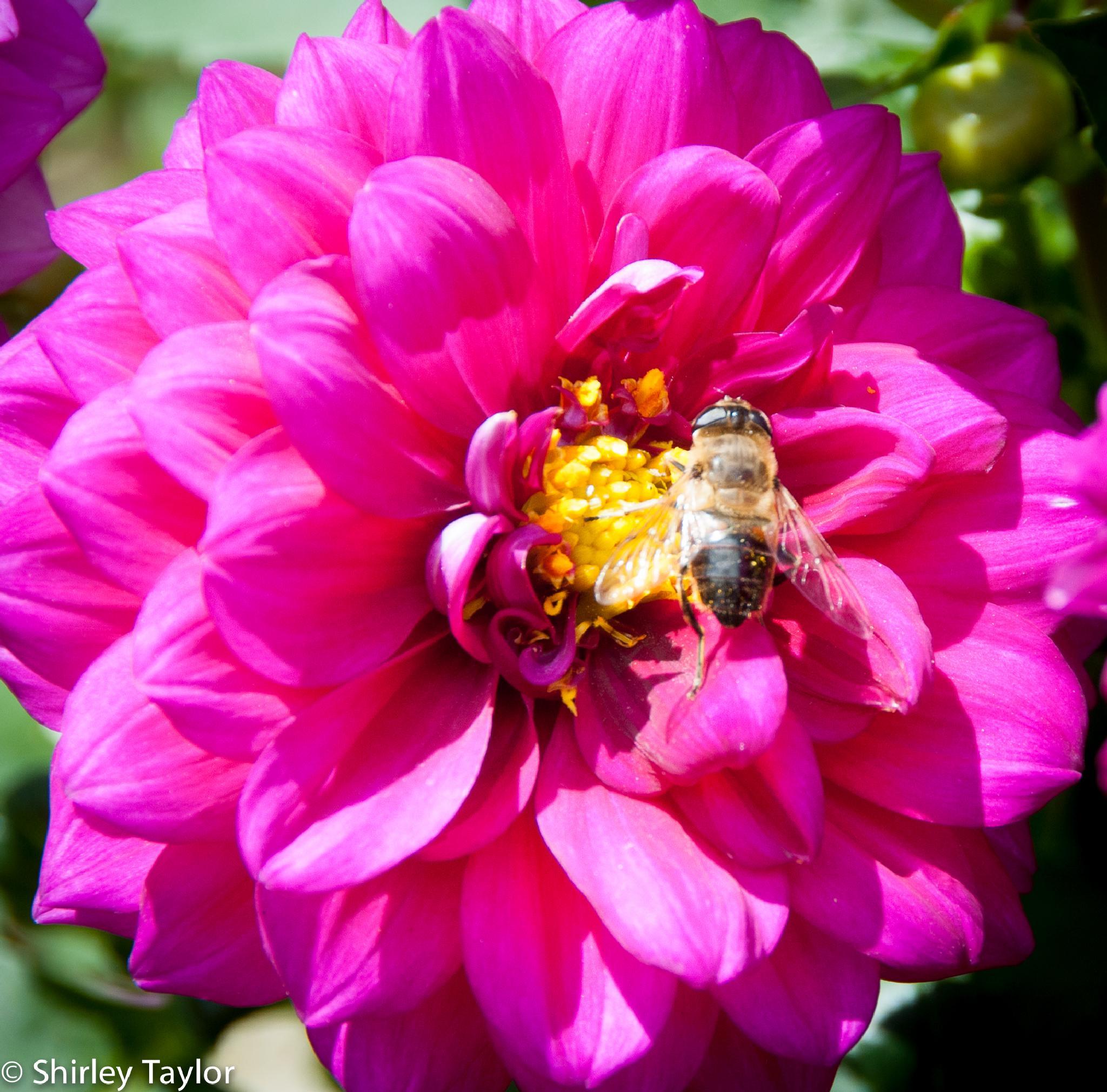 Bee by ShirleyTaylor