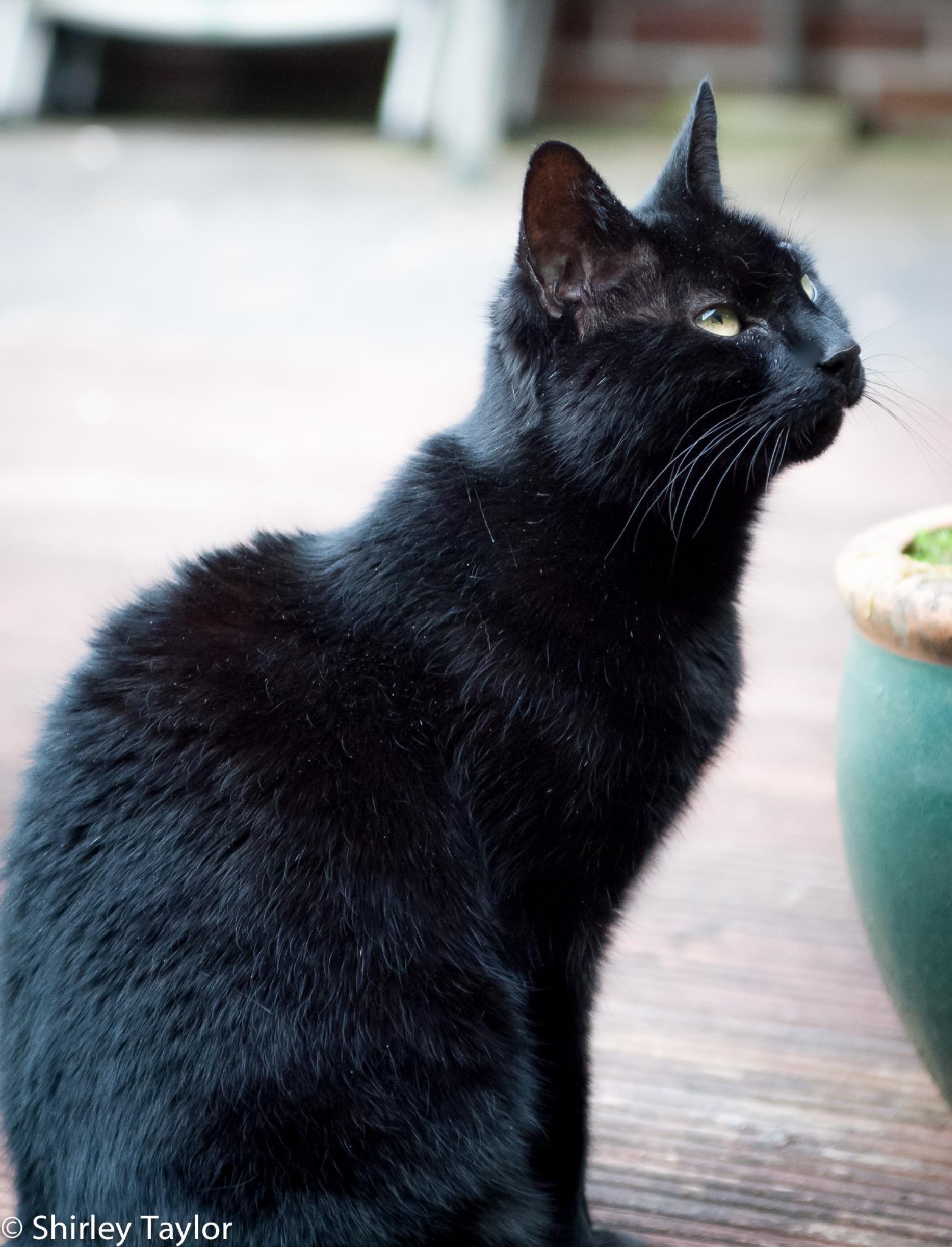 Black Cat 2 by ShirleyTaylor