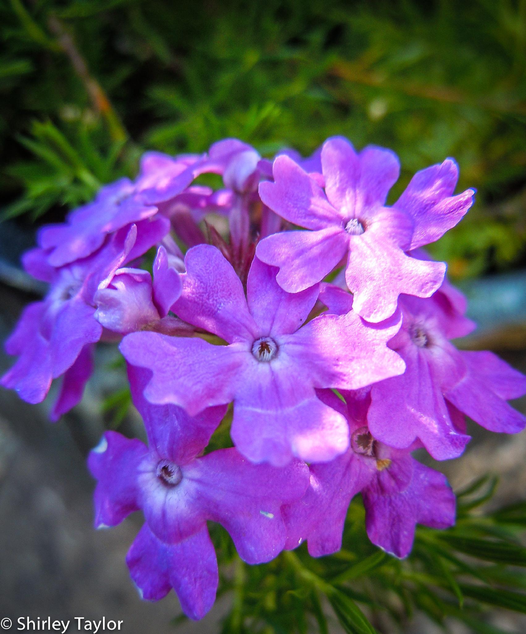 Flower by ShirleyTaylor