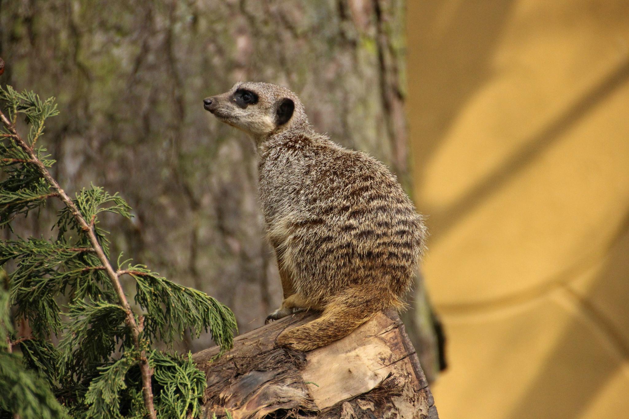 Meerkat by Dacki76