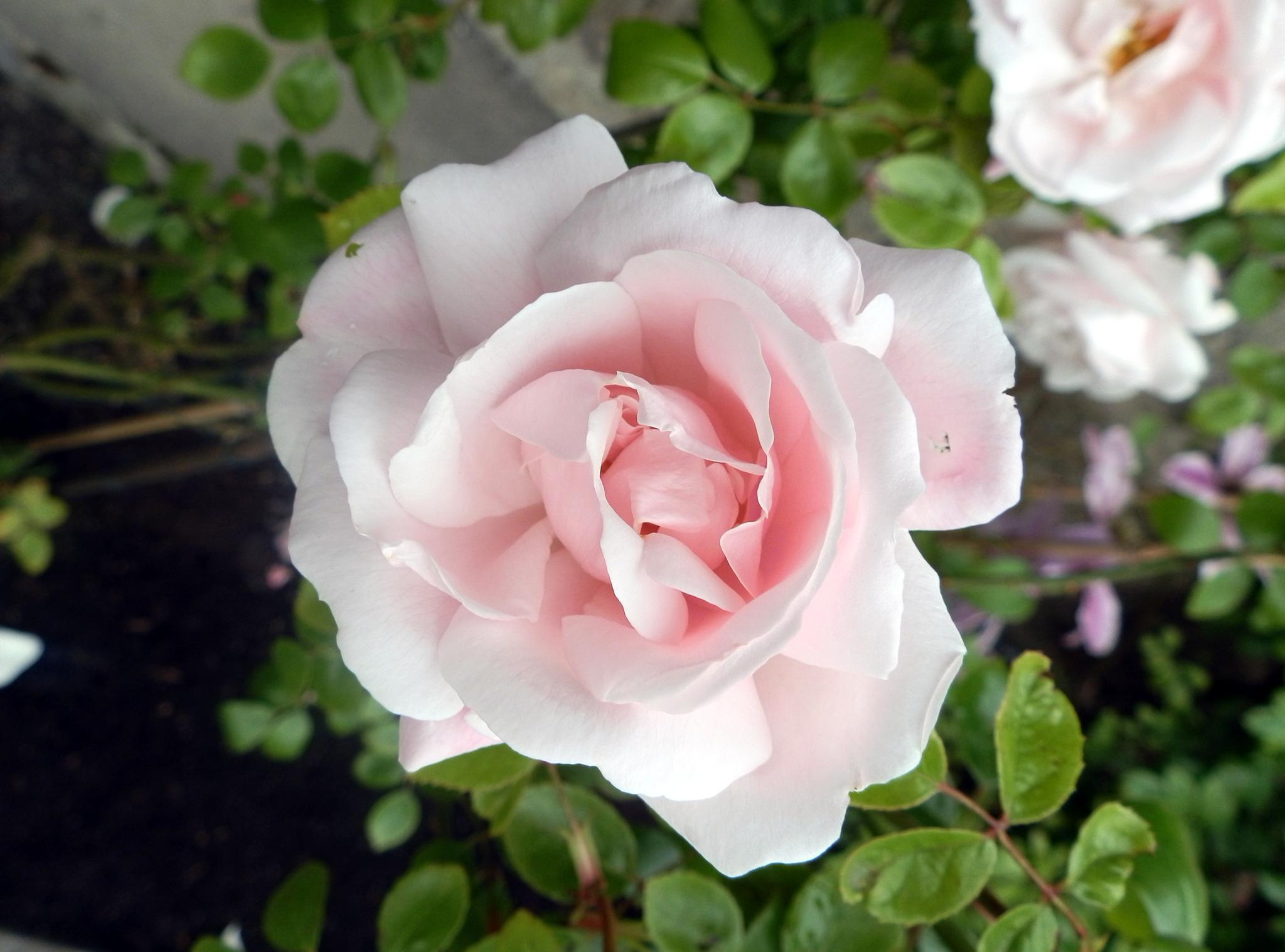 sweet sweet rose by jsauve