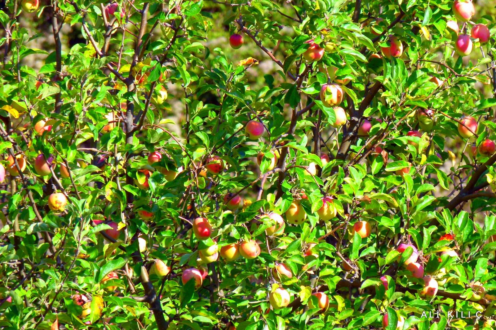 apples in the branch by Ali KILIÇ