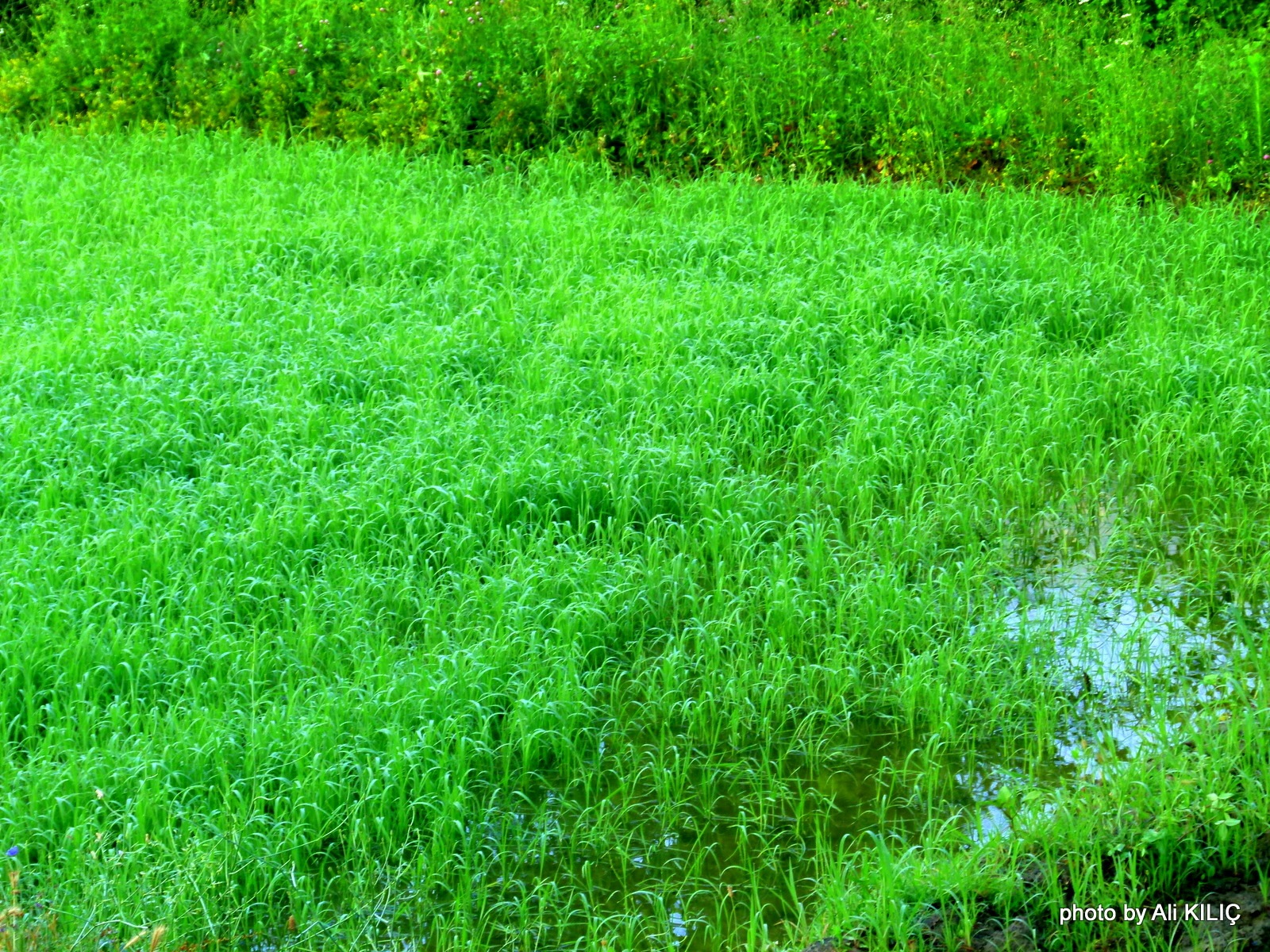 A rice field in Boyabat. by Ali KILIÇ