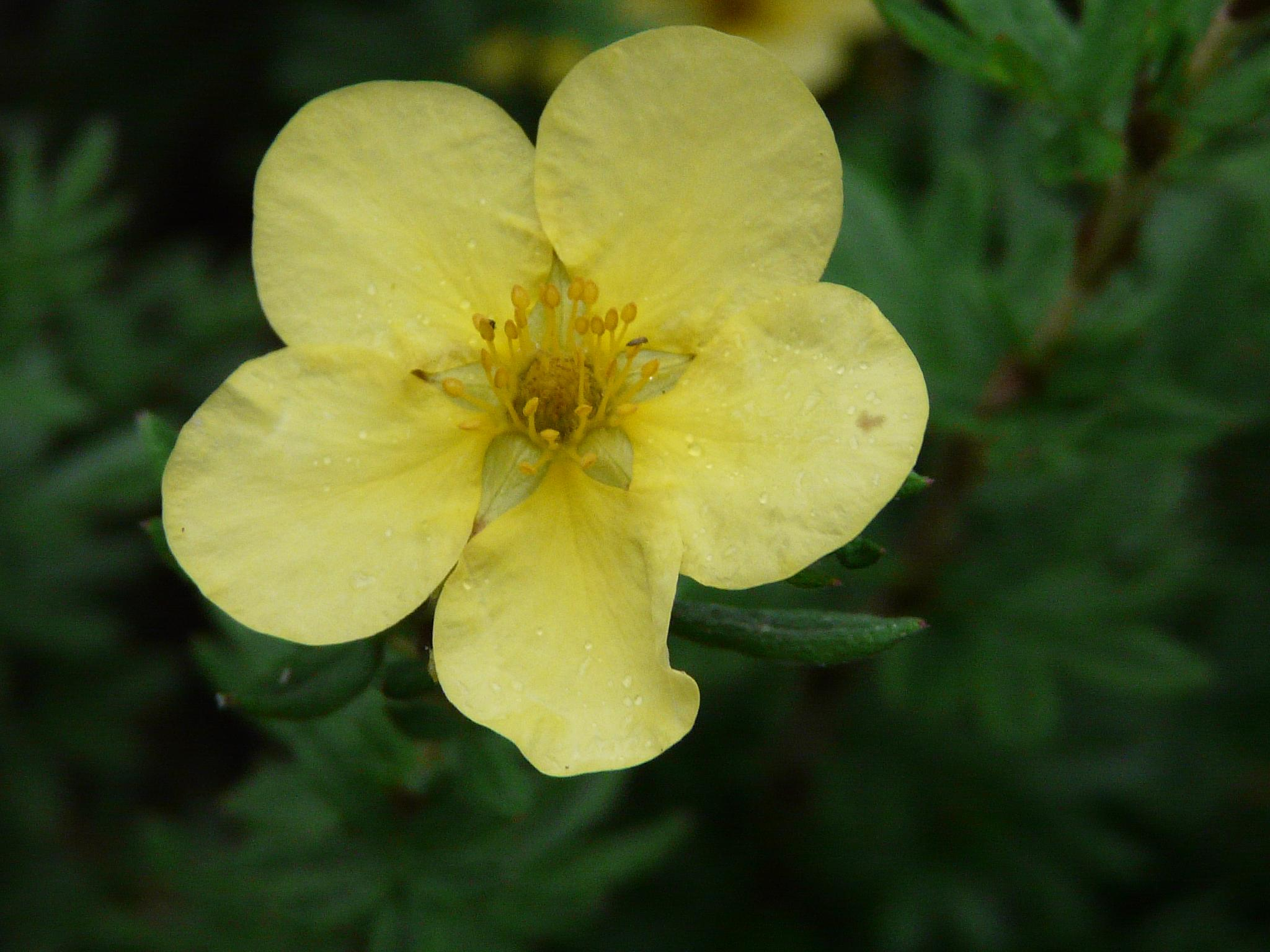 Potentilla by calineramsay