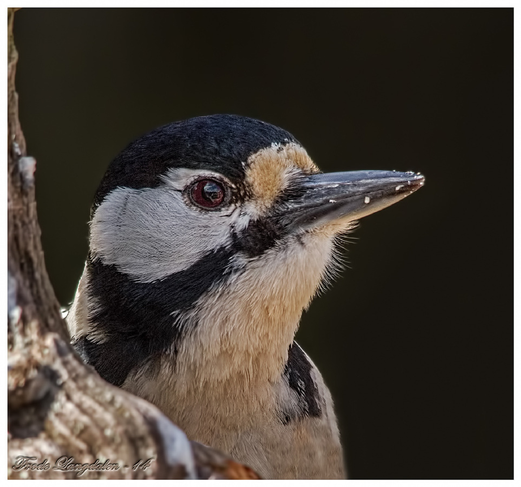 Great Spotted Woodpecker. by Frode Langdalen.