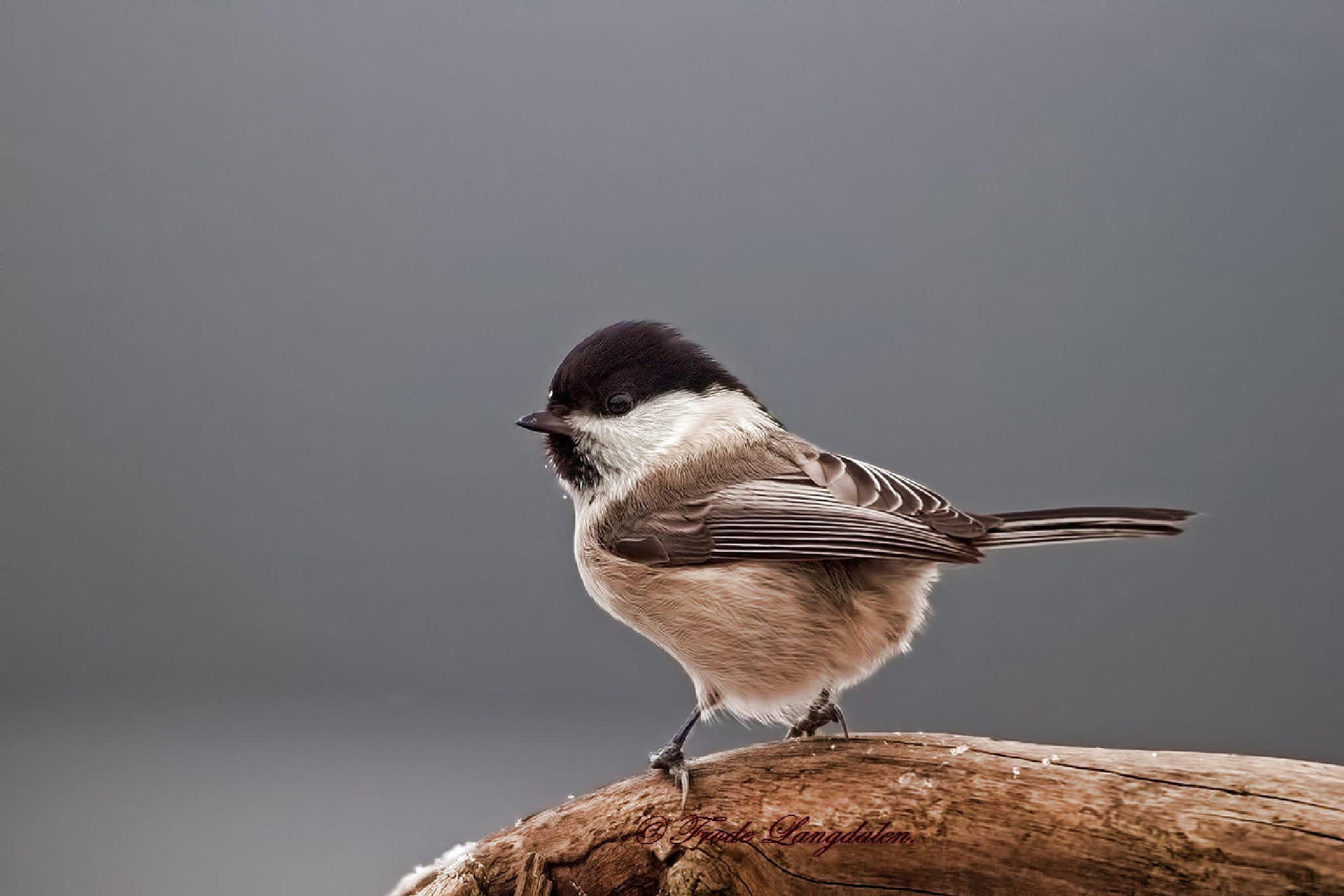 Willow Tit. by Frode Langdalen.