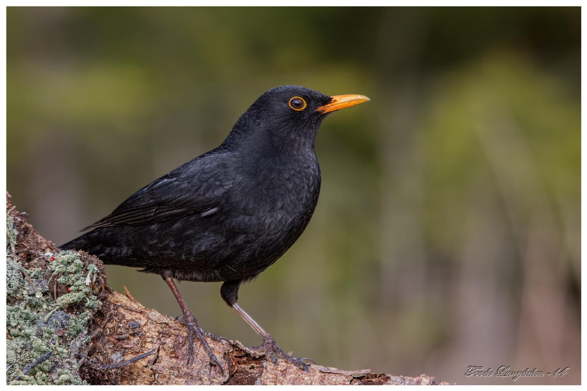 Black Bird. by Frode Langdalen.
