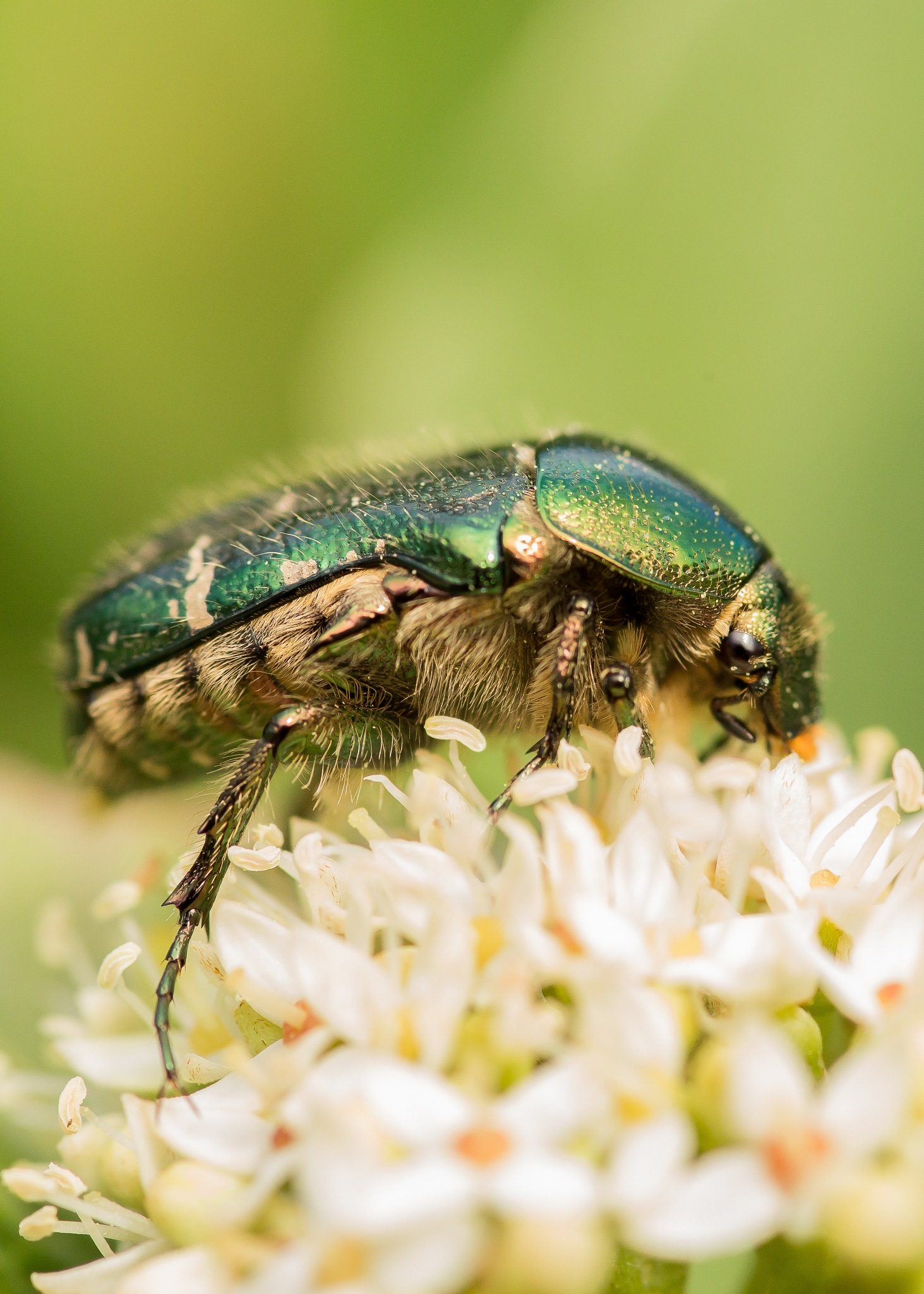 Green Rose Chafer by mikemcmonkey