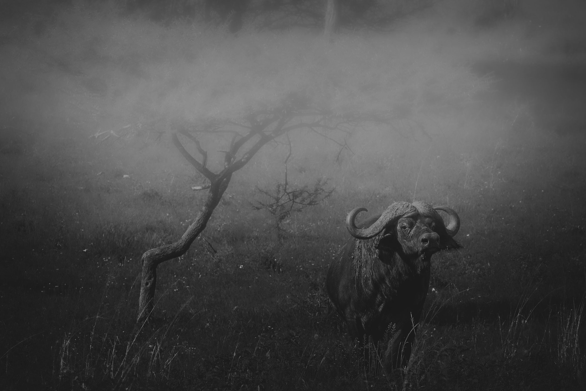 african buffalo by andré figueiredo