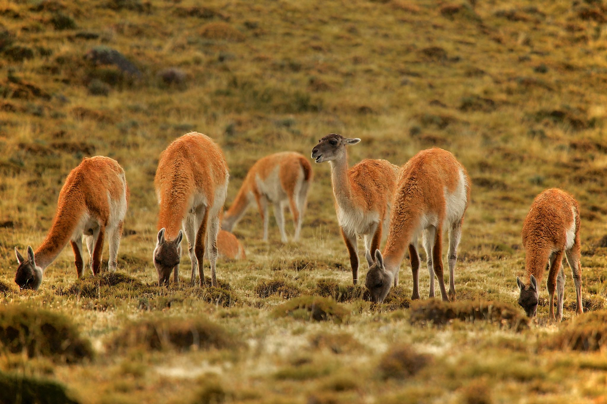 guanacos by andré figueiredo