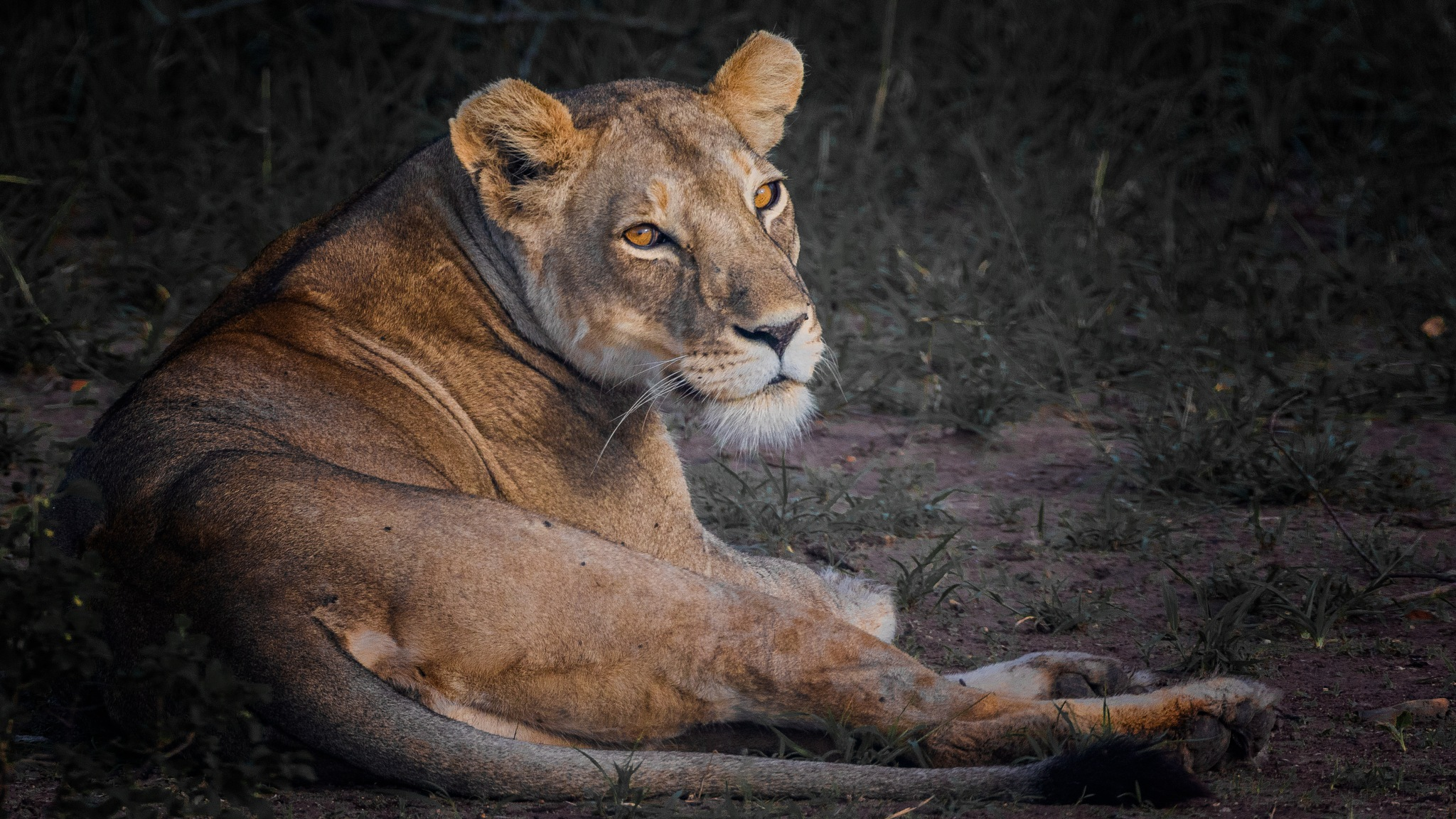 young lion by andré figueiredo