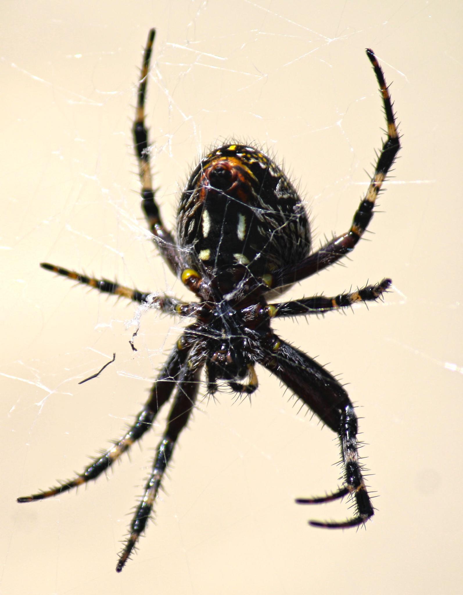 Aztec Spider by i_b