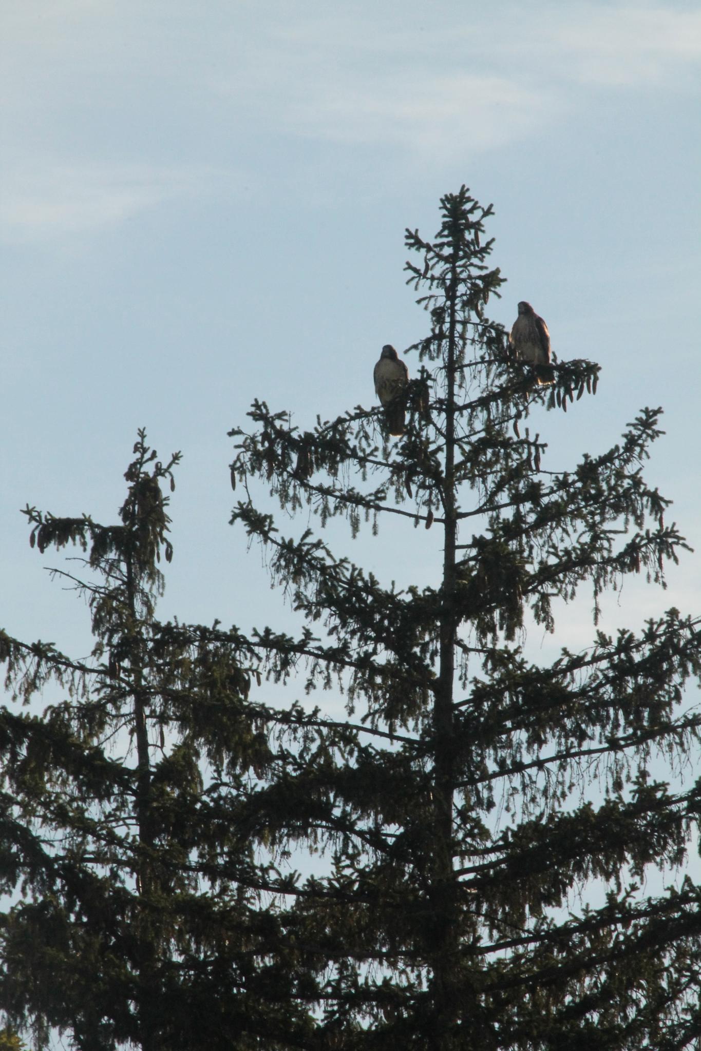 Two Hawks in the Pine =? by Bebet Blue Amazon