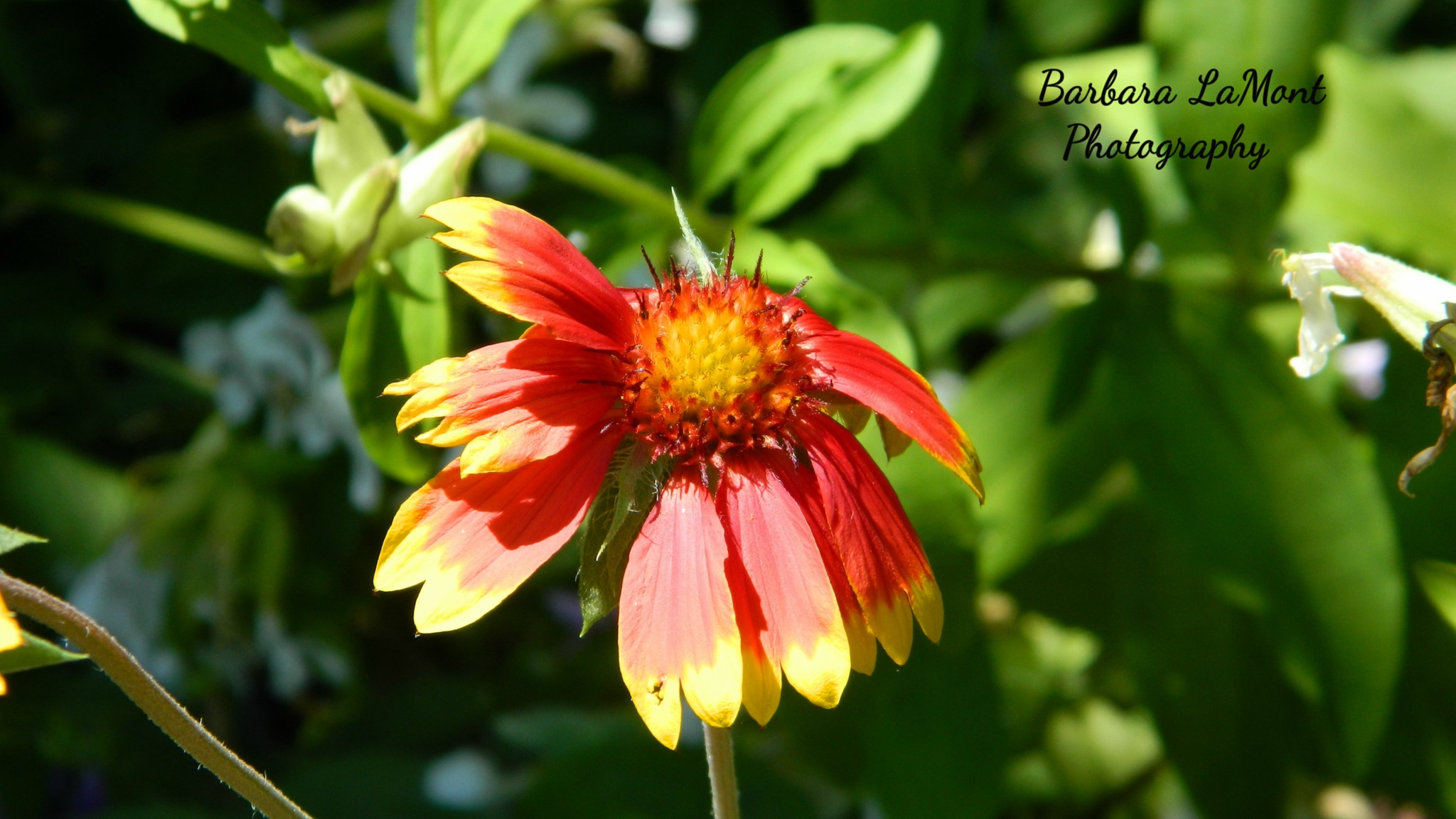 A Beaut.  by Barbara LaMont