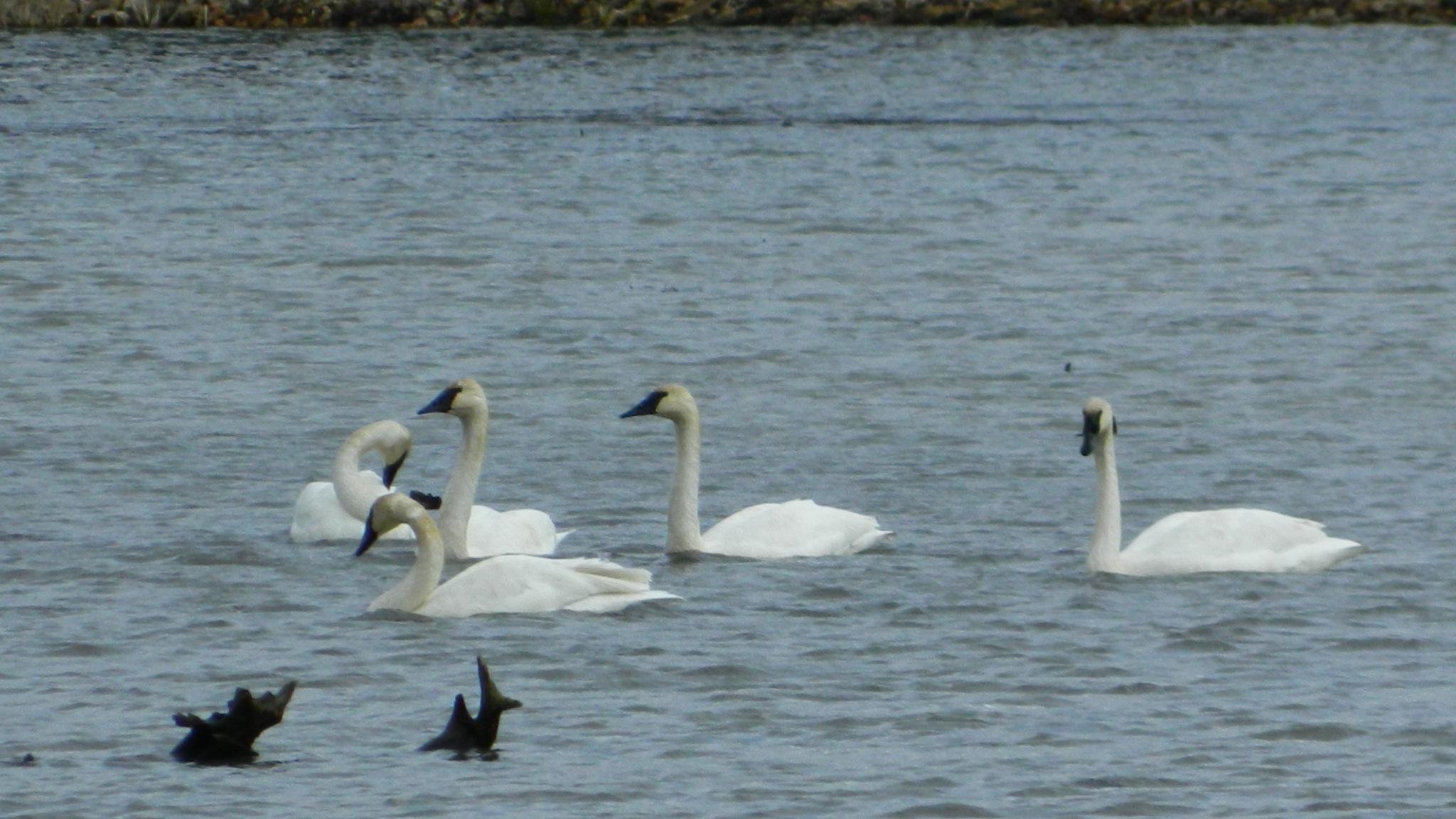 Swans by Barbara LaMont