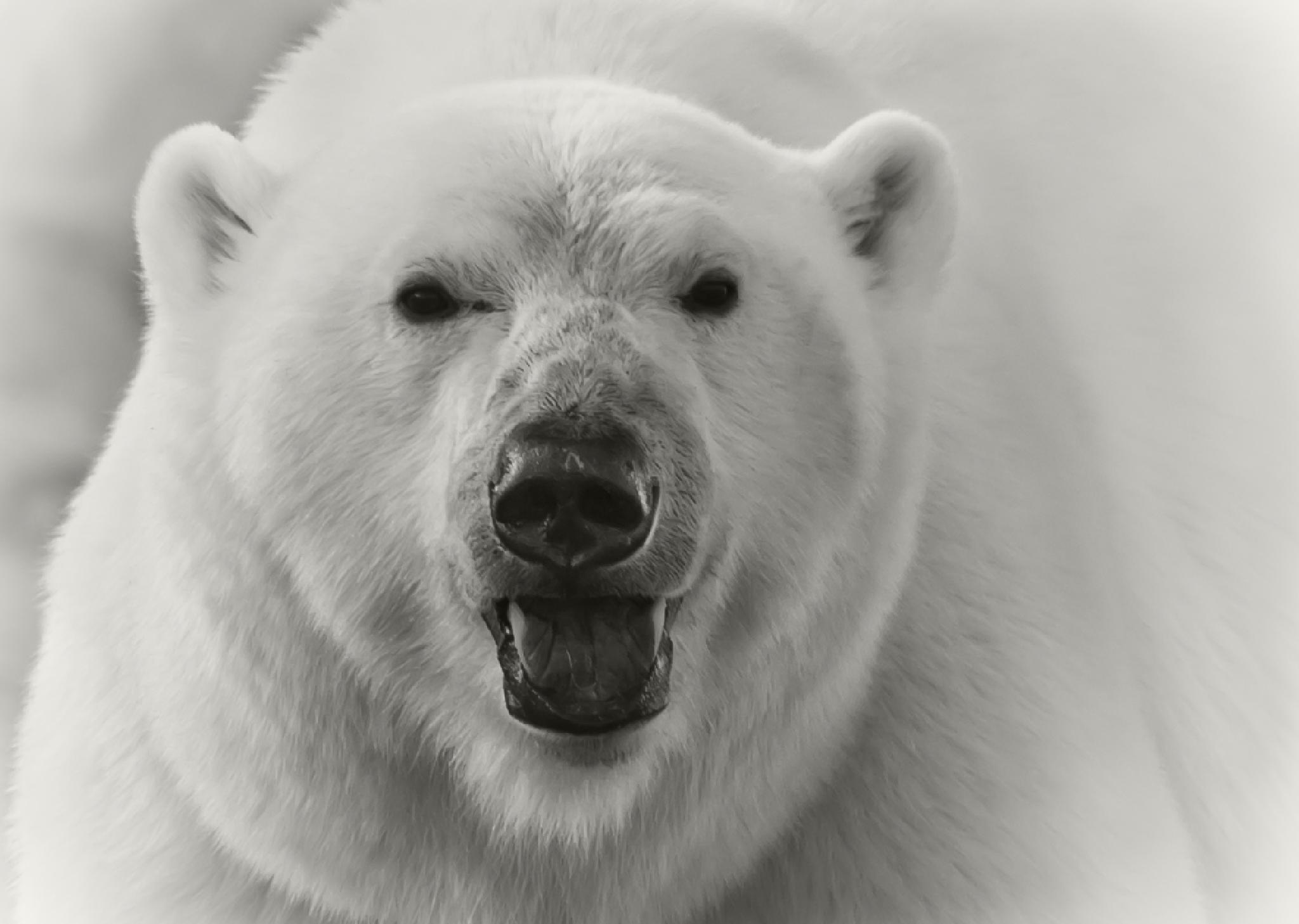 Polarbear by Aashild Dordal