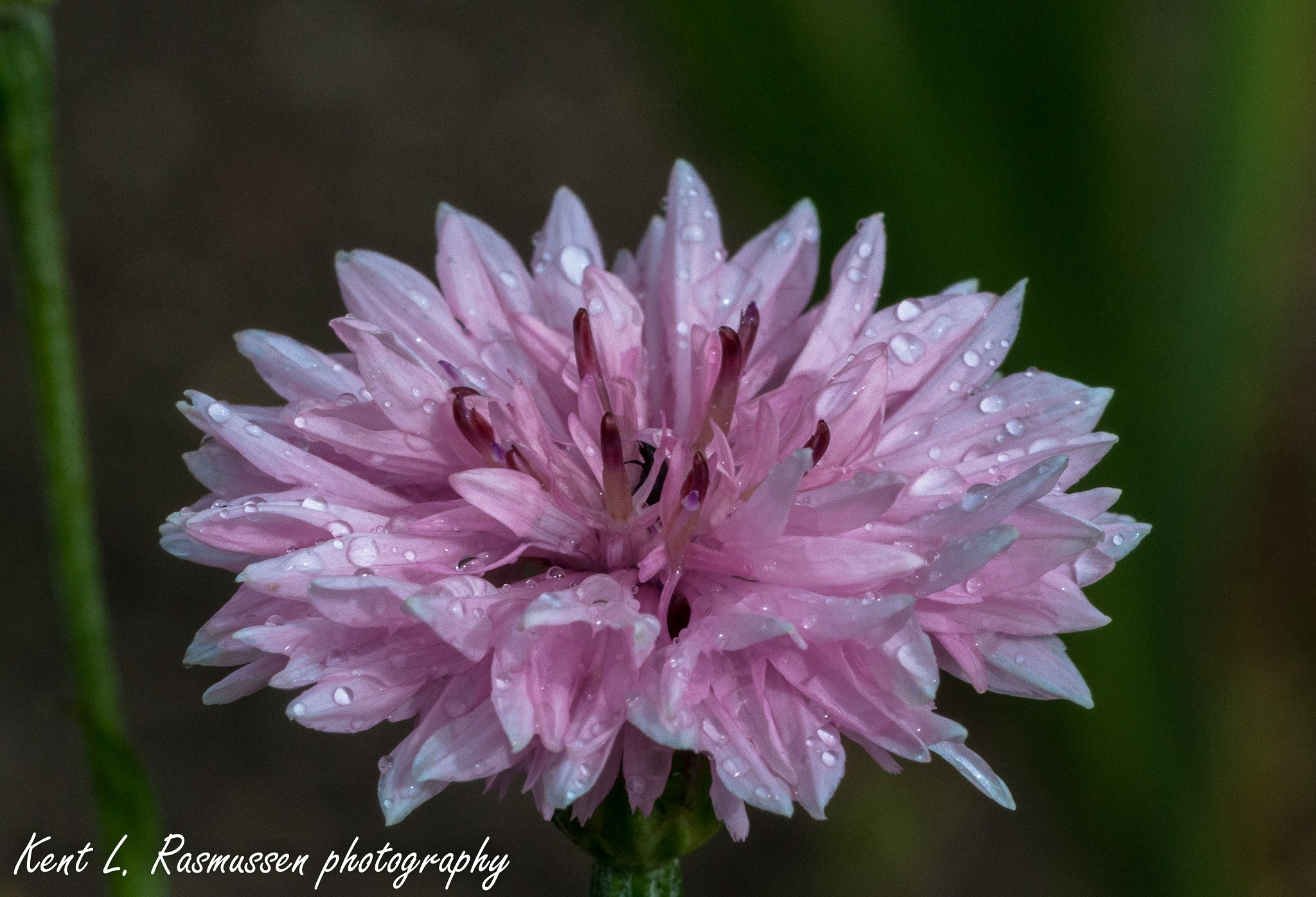 Pink corn flower in the rain by Kent L. Rasmussen