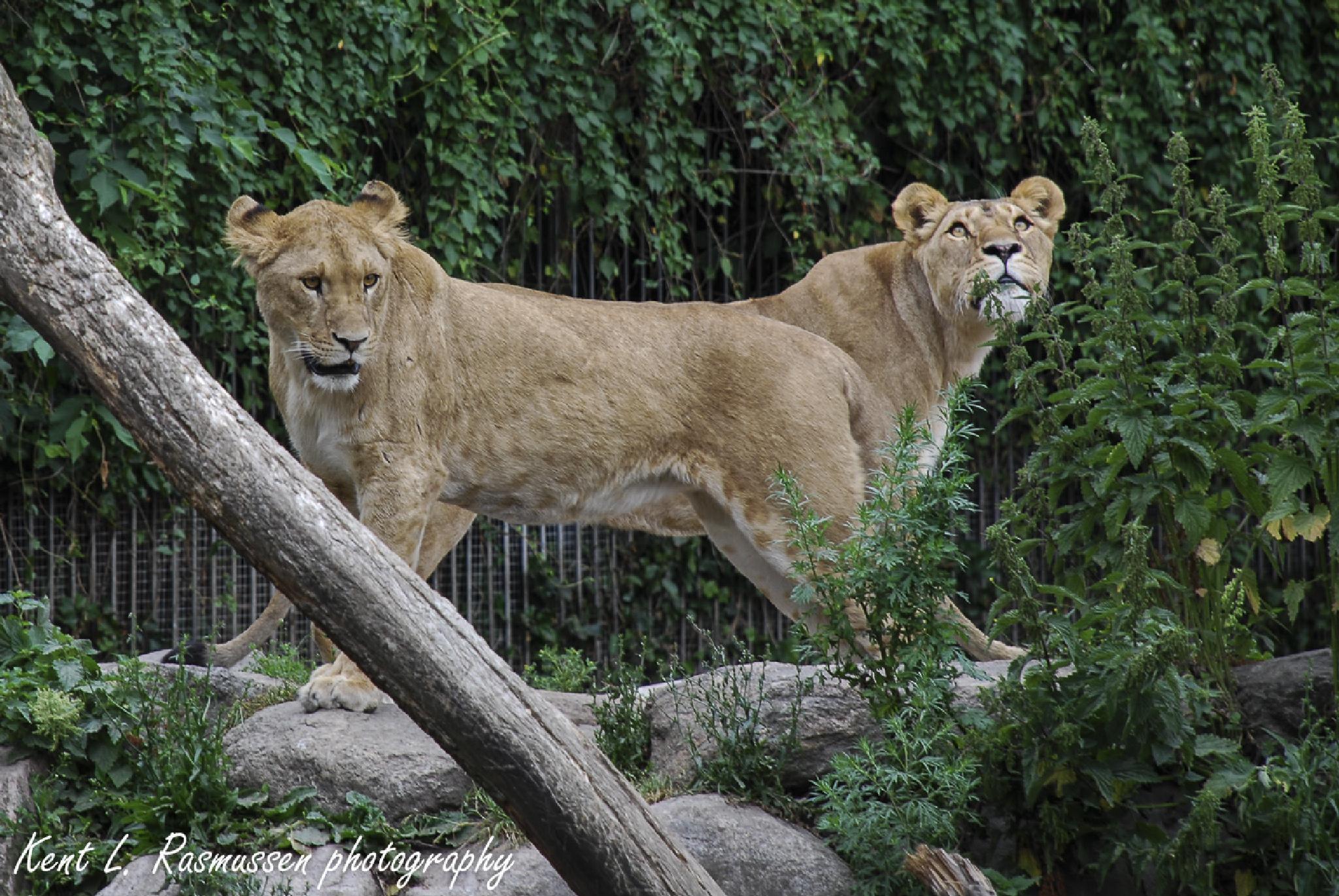 Double Lion by Kent L. Rasmussen