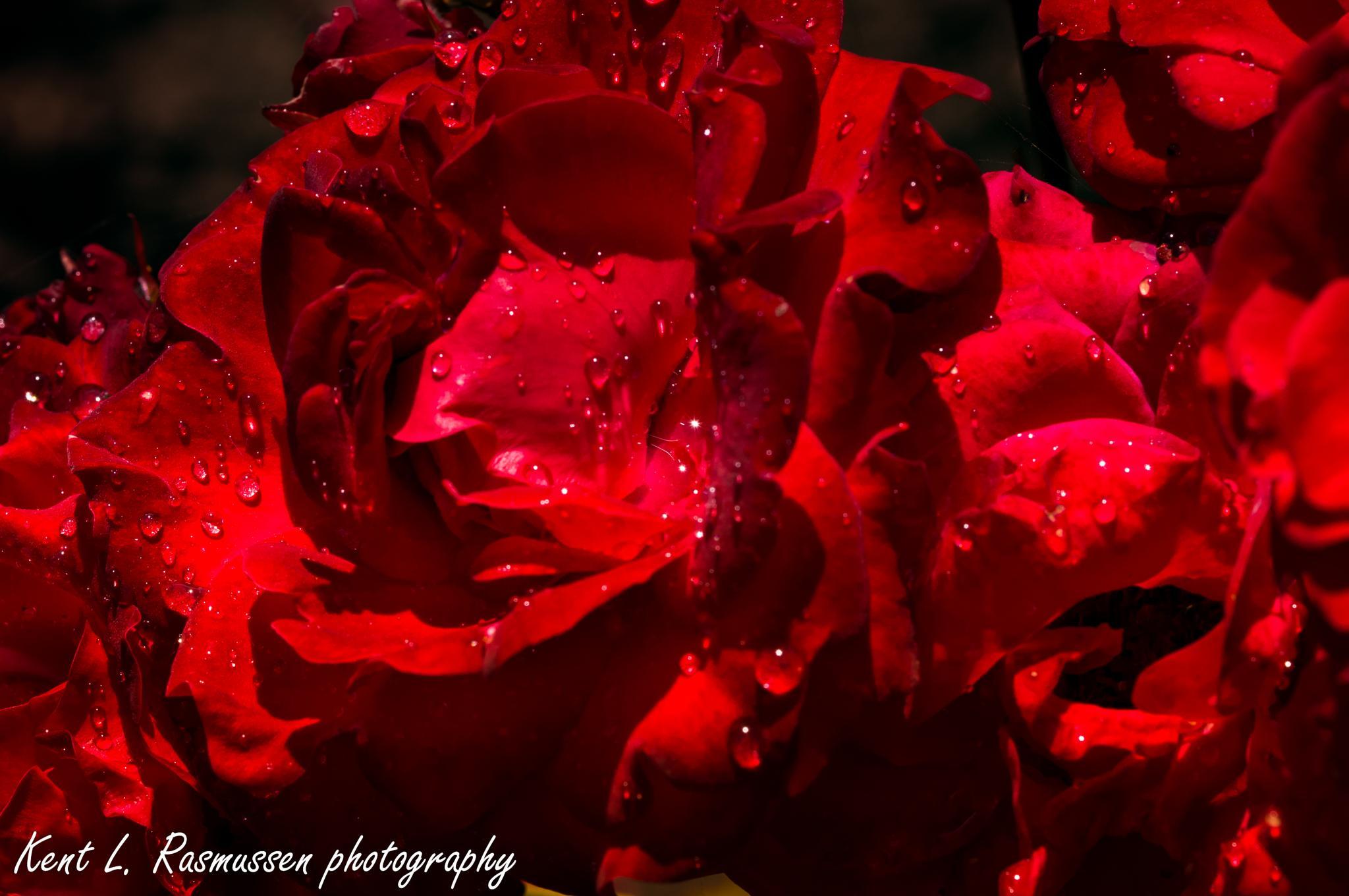Wet darkred rose by Kent L. Rasmussen