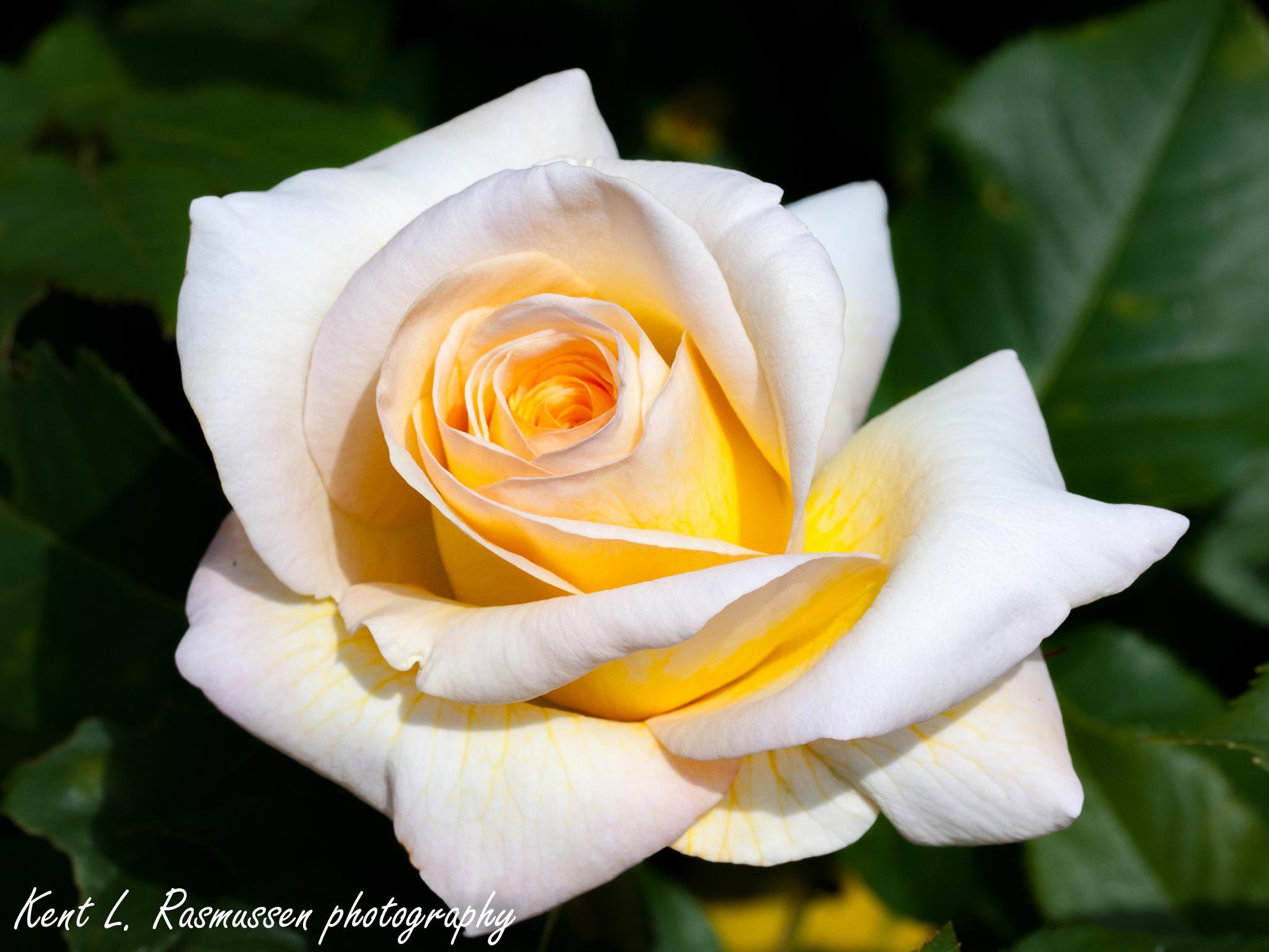 Photo in Macro #white #yellow #rose