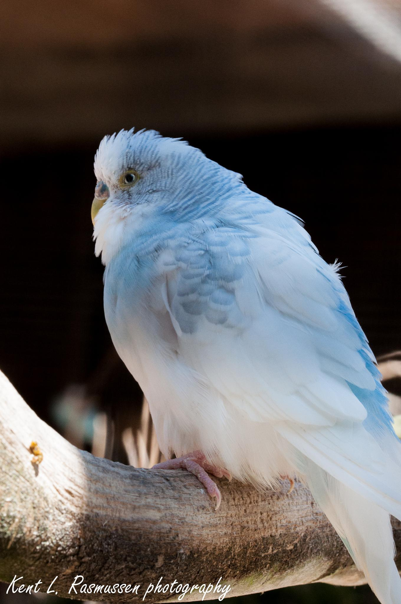 White & blue budgie by Kent L. Rasmussen