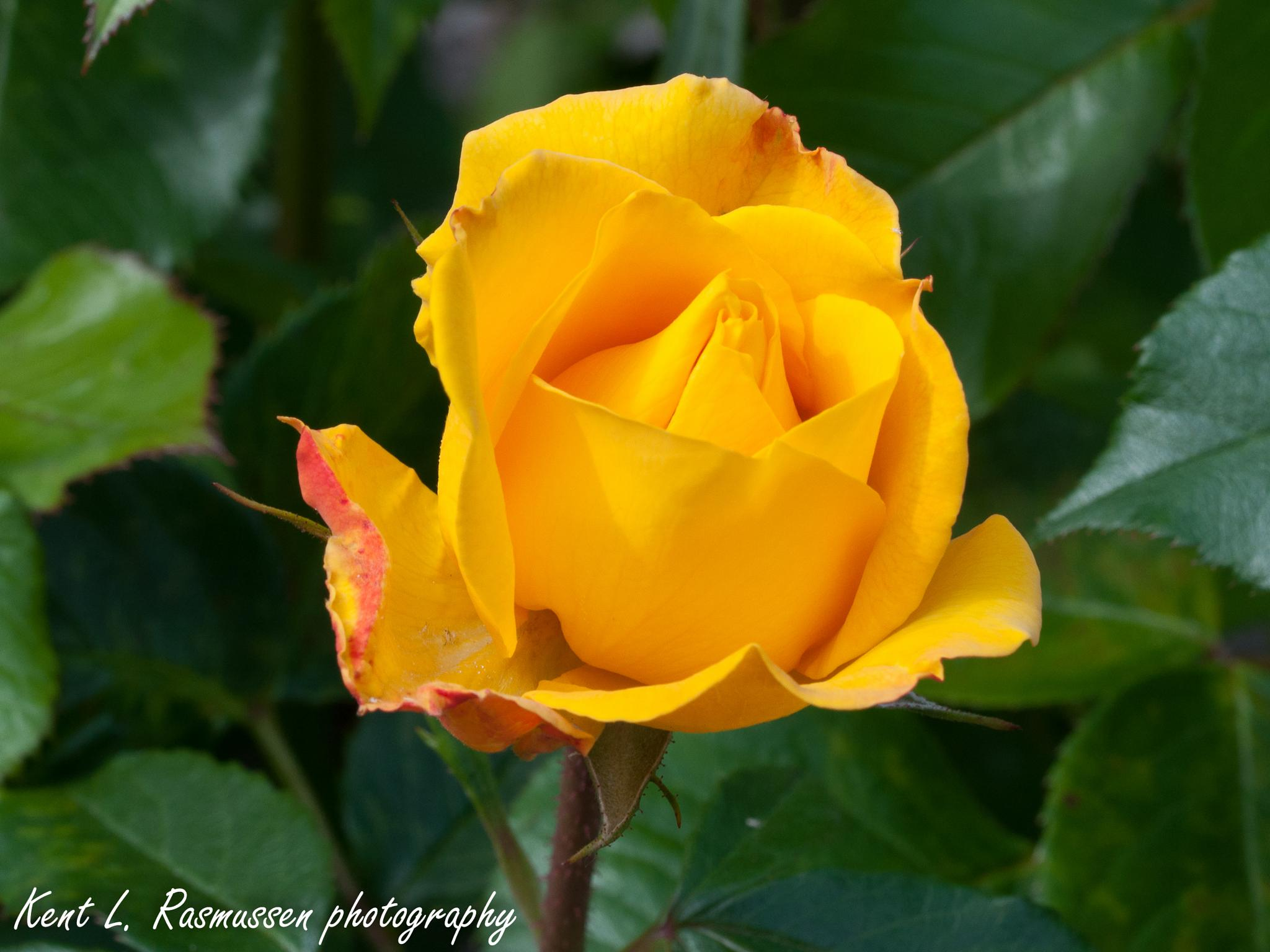 Photo in Macro #yellow #red #rose