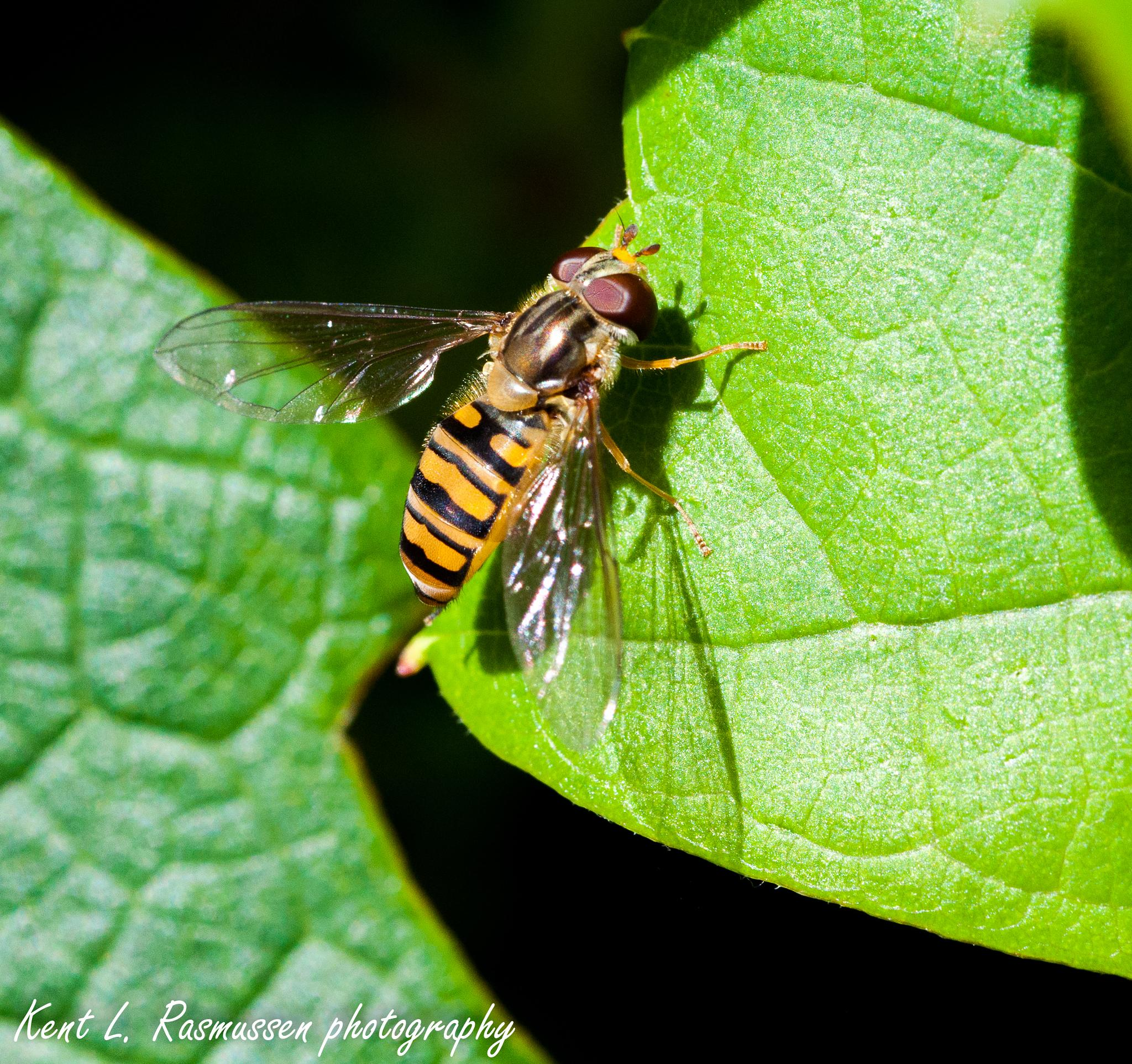 Fake wasp on a leaf by Kent L. Rasmussen