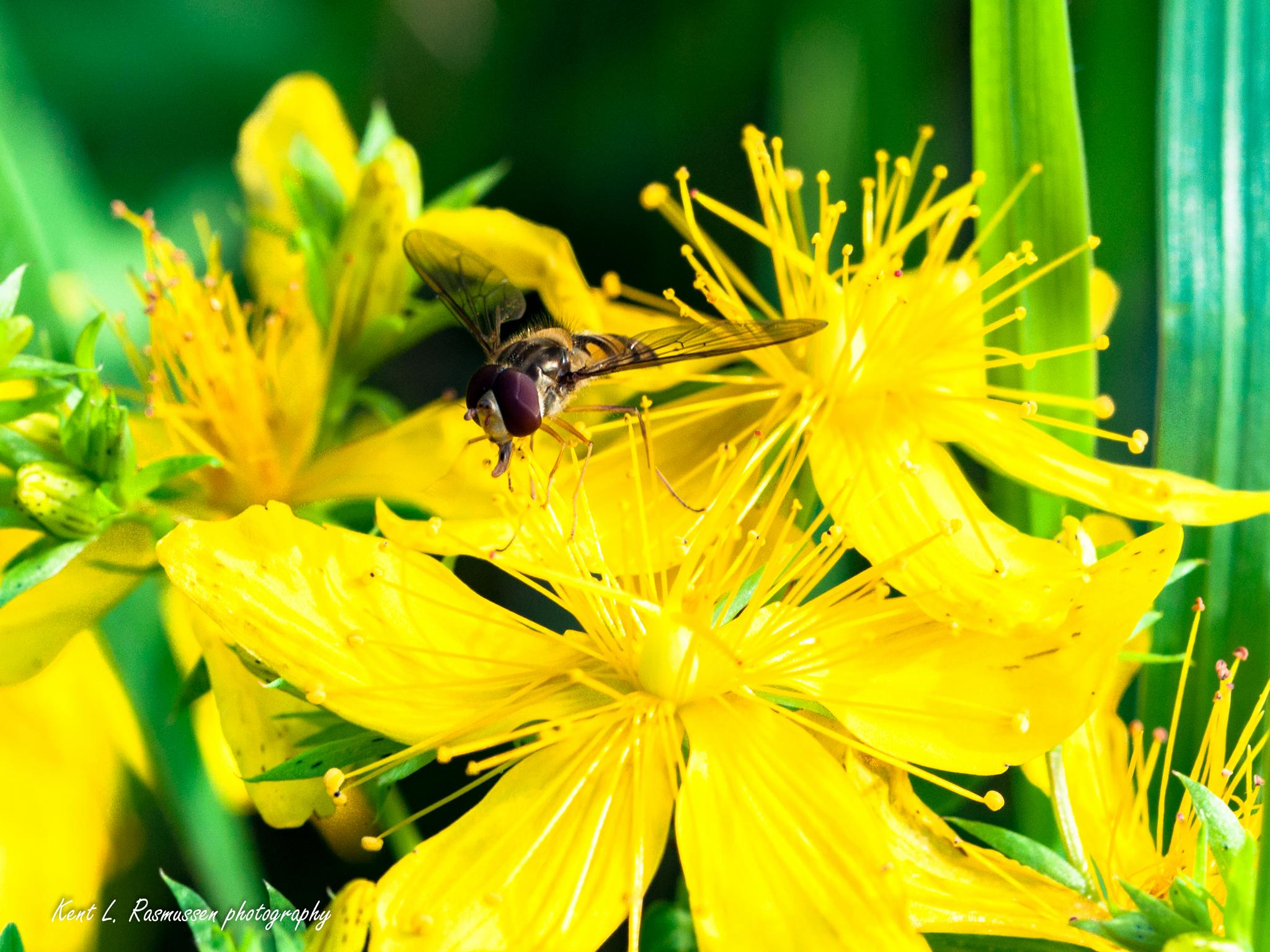 wild yellow flower by Kent L. Rasmussen