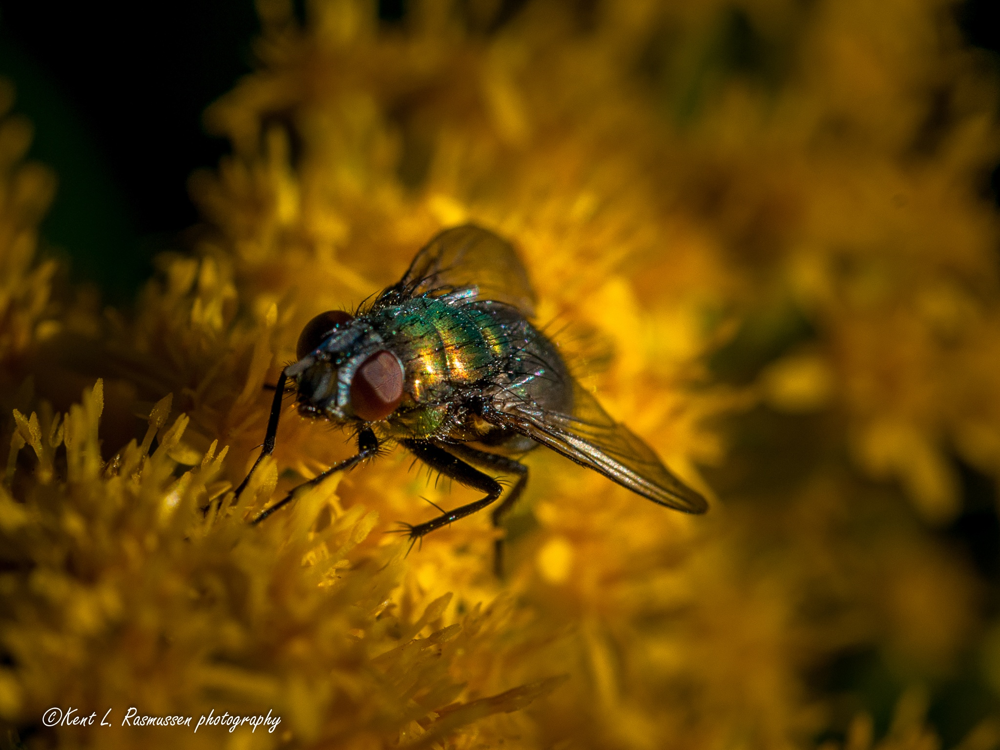Golden green fly on a wild yellow flower by Kent L. Rasmussen