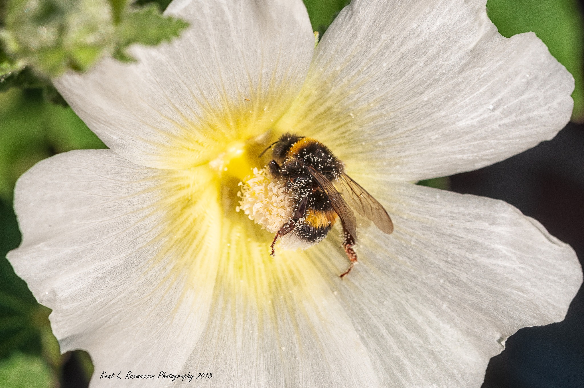 Alcea & bumble bee by Kent L. Rasmussen