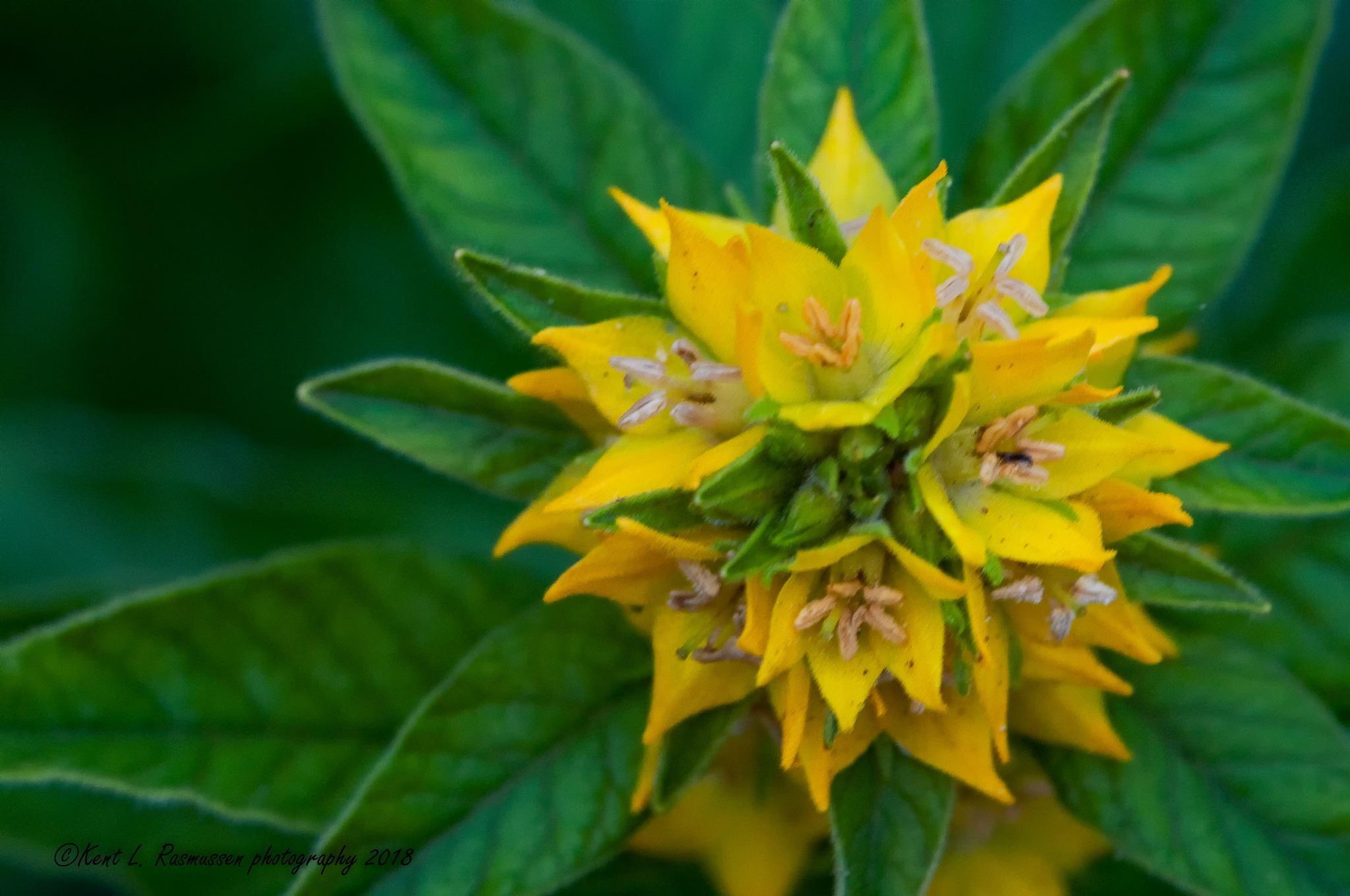 Yellow & green  by Kent L. Rasmussen